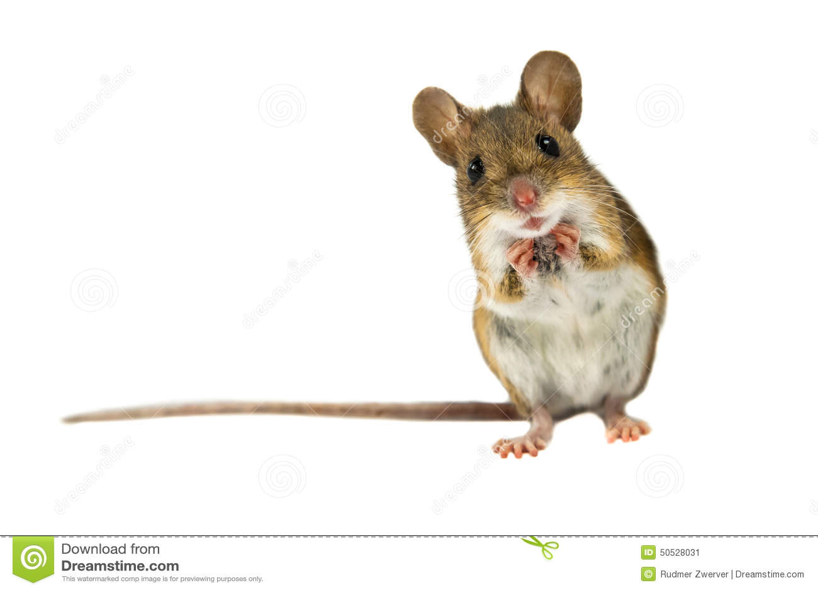 Удивленная мышь поля с путем клиппирования