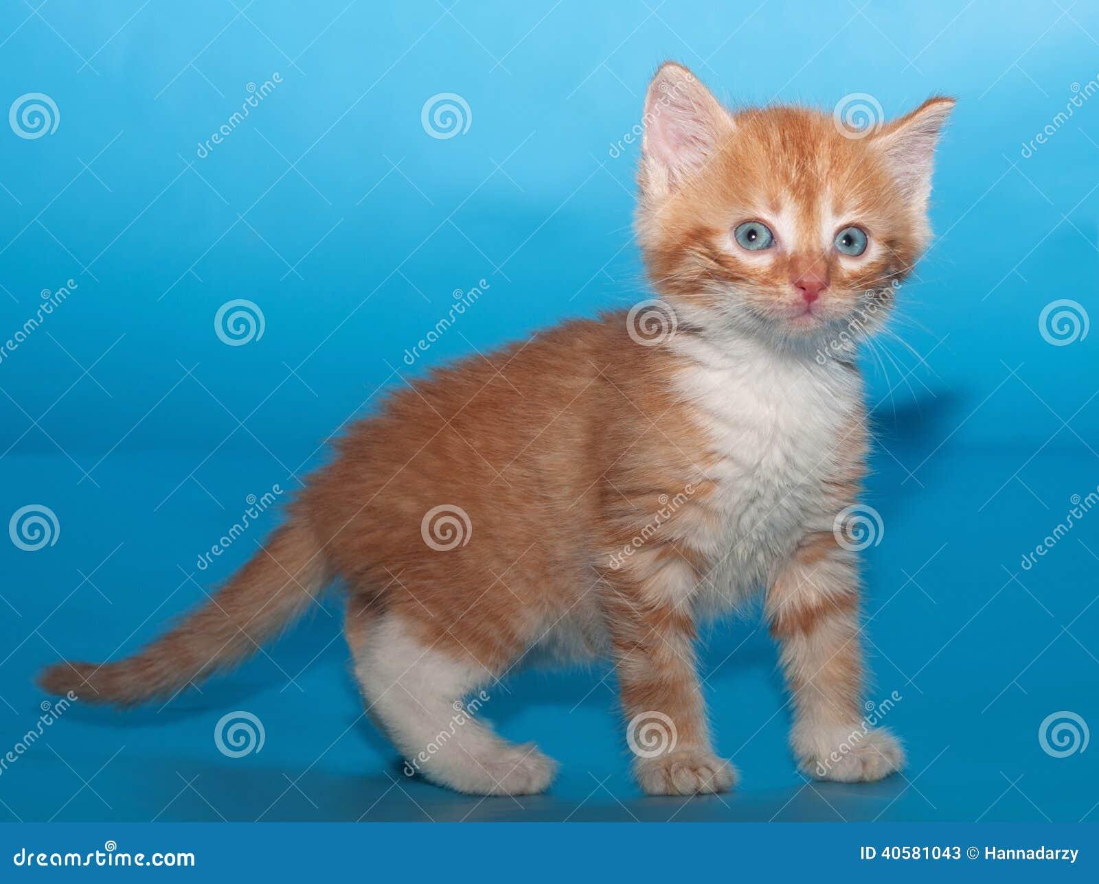 Удивленный пушистый котенок имбиря на сини