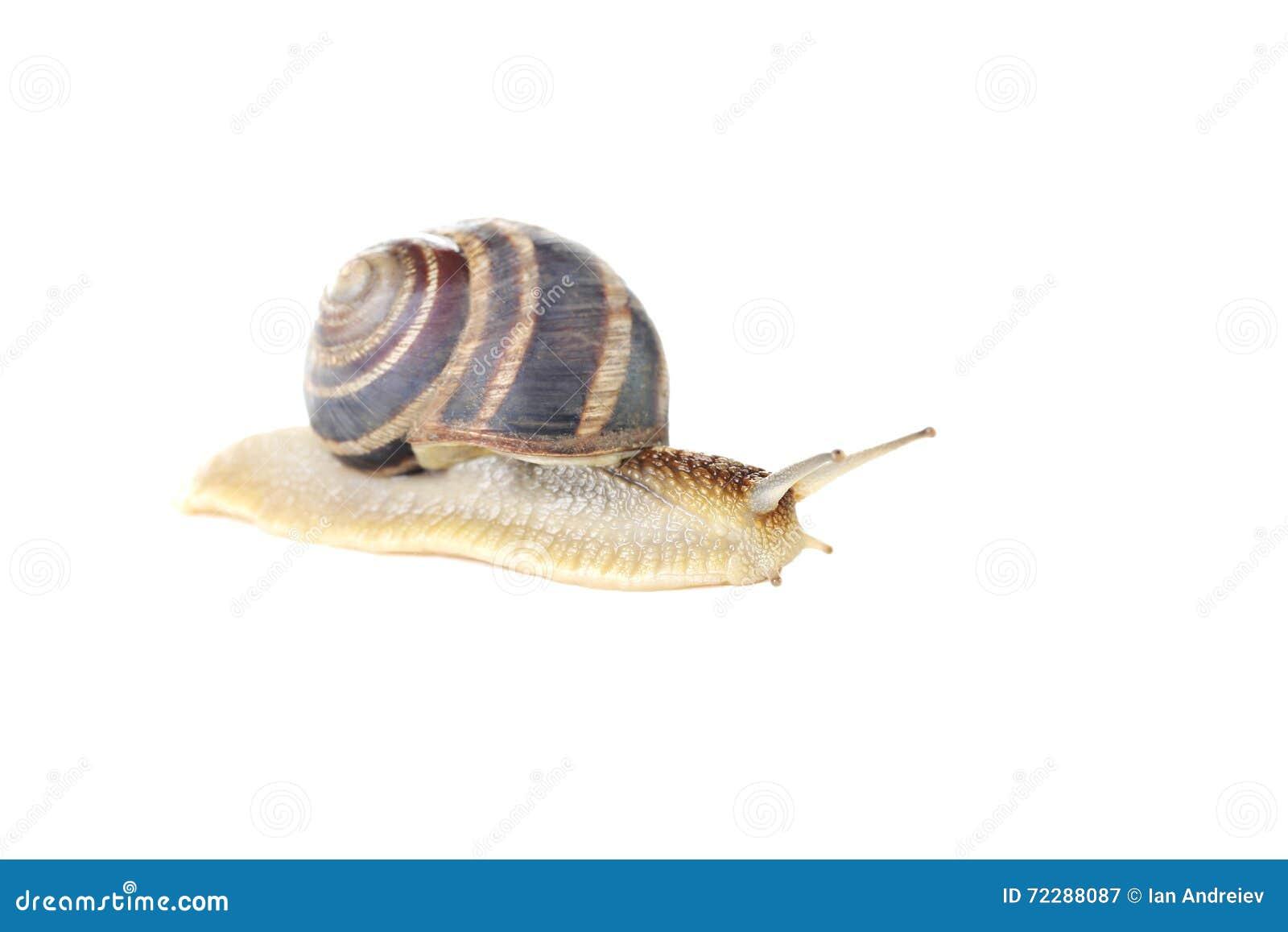 Download Улитка Брайна стоковое изображение. изображение насчитывающей crawls - 72288087