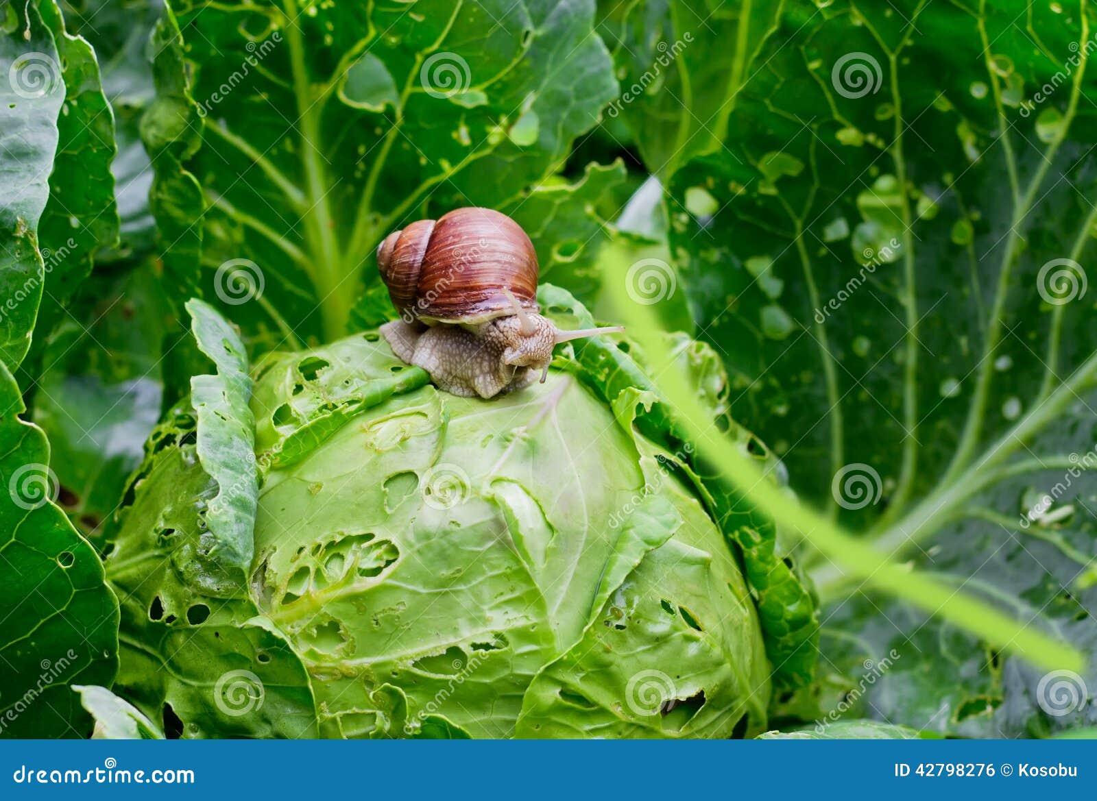 Улитка сидит на капусте в саде