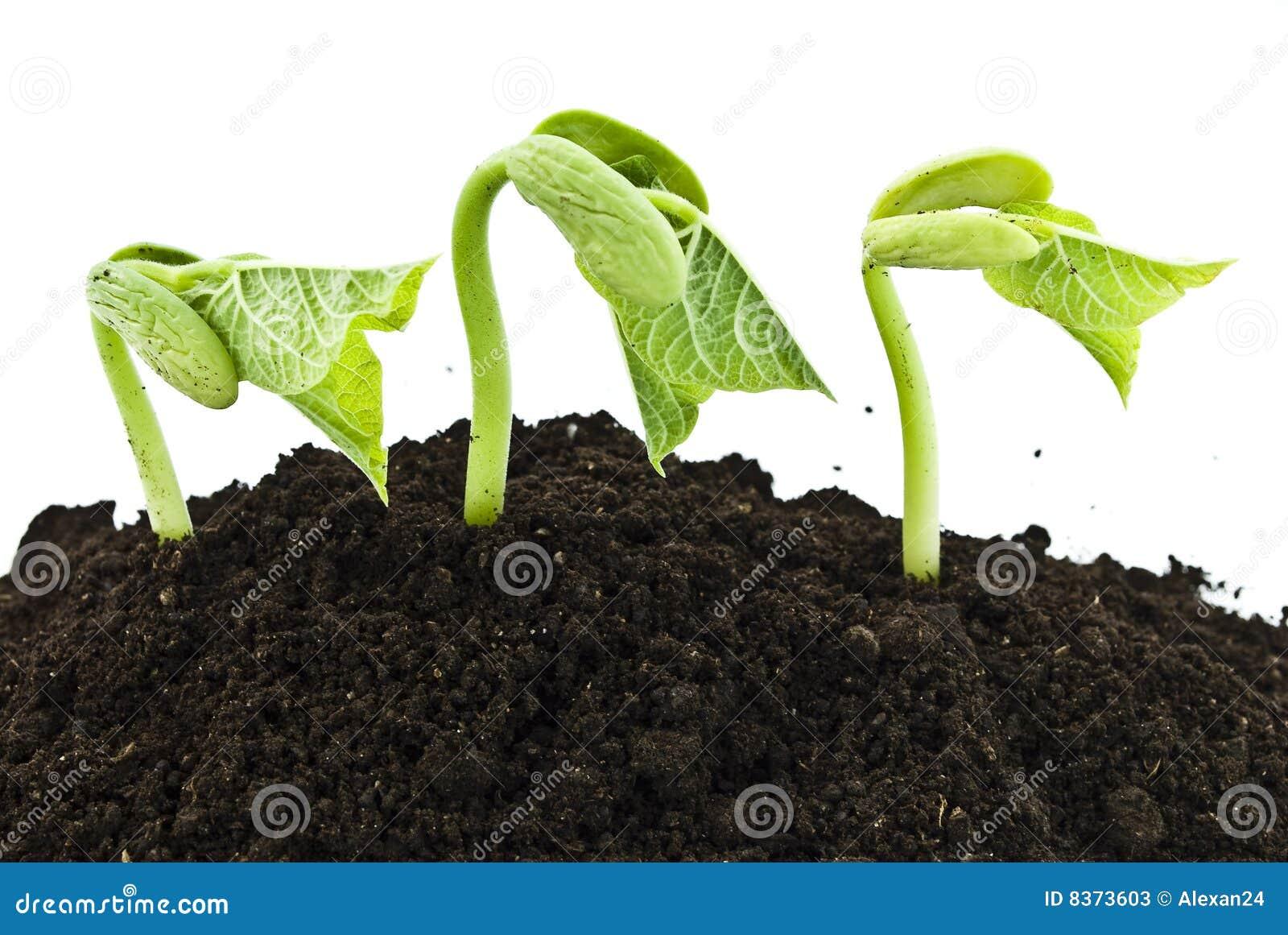 germinated peas report