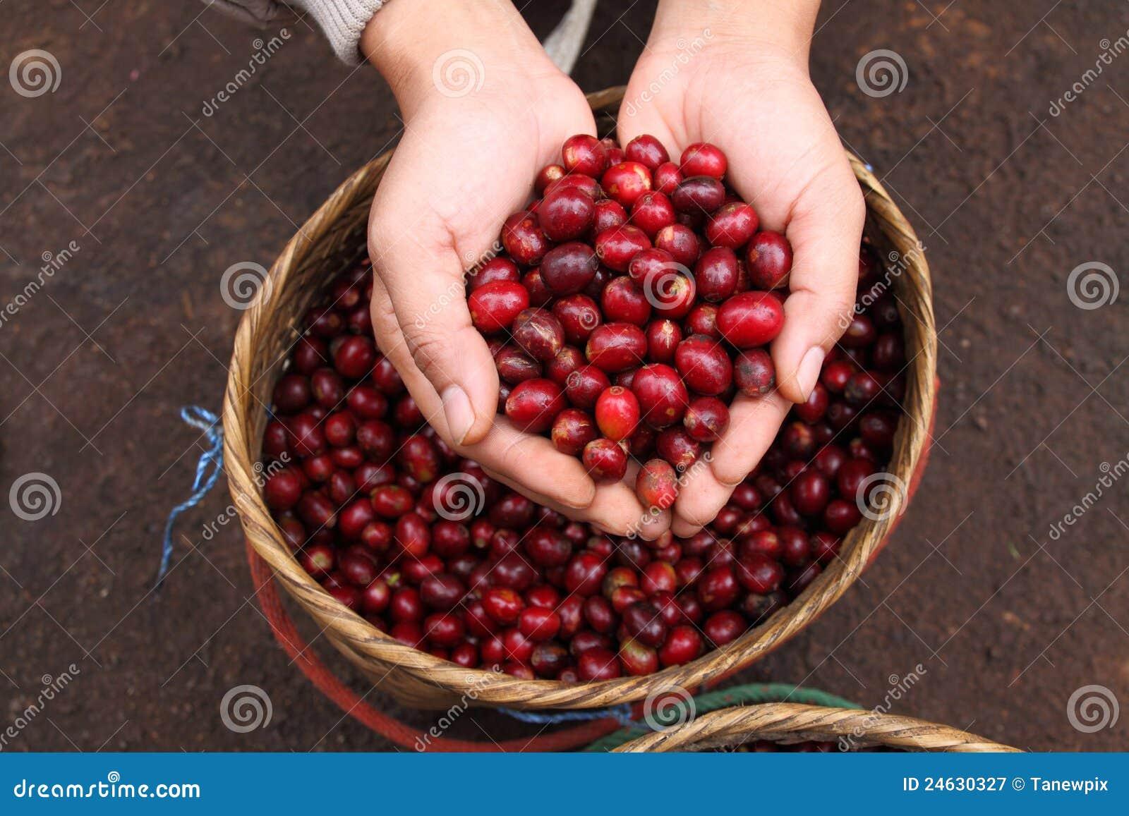фасоли agriculturist закрывают красный цвет руки кофе вверх