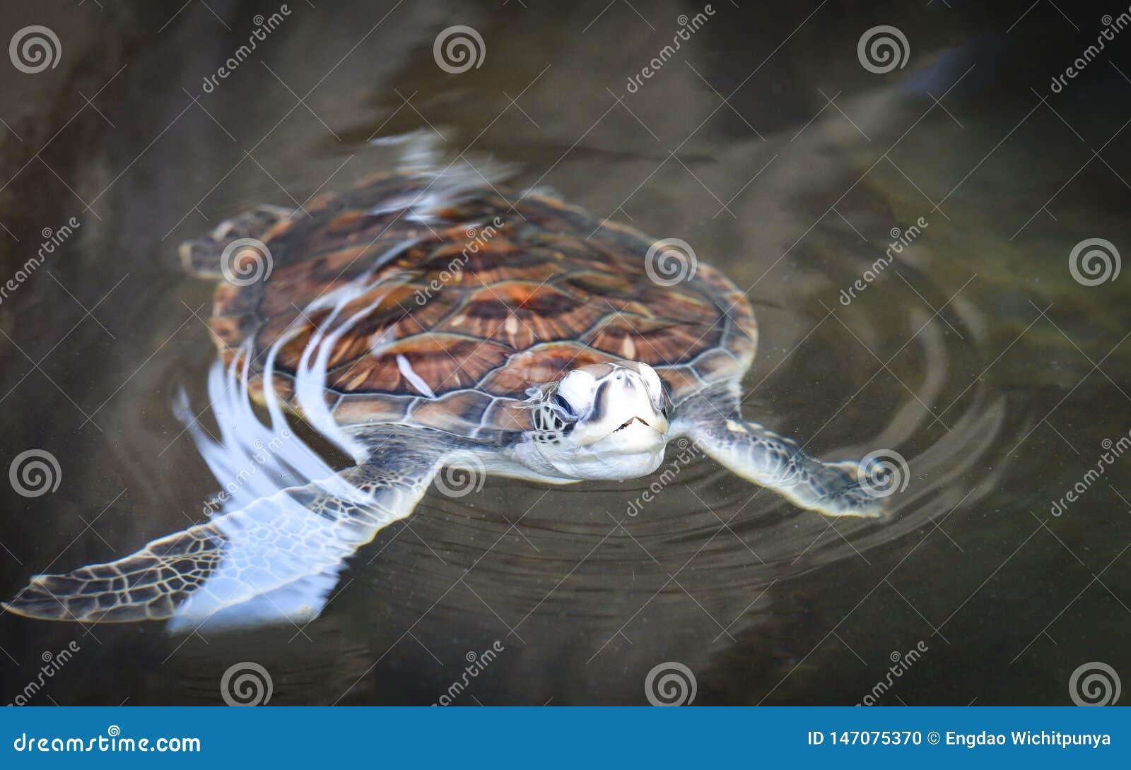 ферма зеленой черепахи и плавать на пруде воды - морской черепахе hawksbill немного