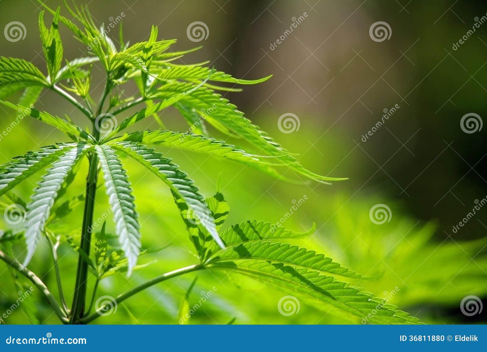 Катманду марихуана конопля мое смотреть