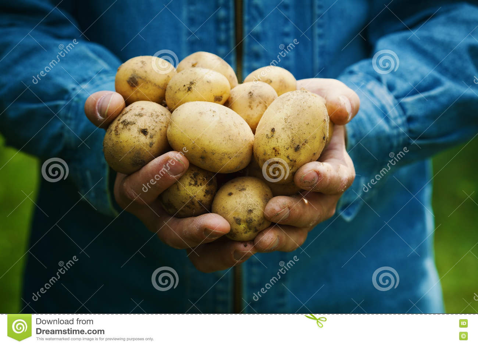 Фермер держа в руках сбор картошек в саде органические овощи farming