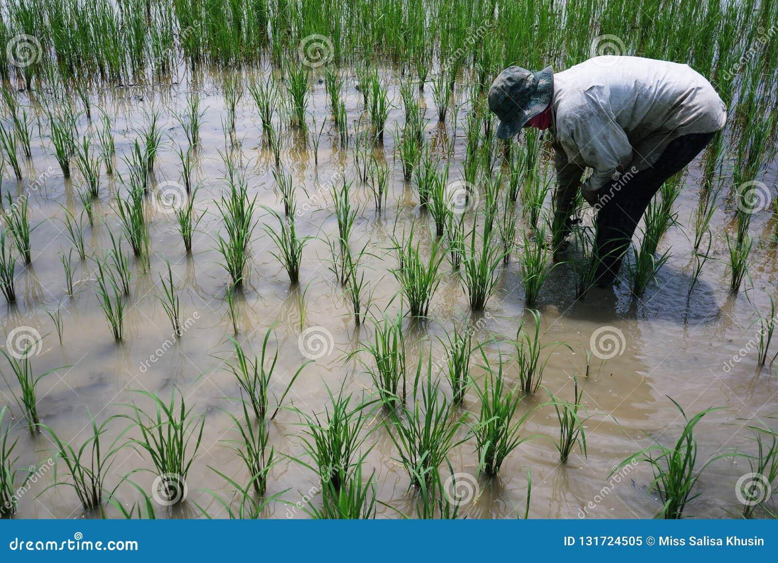 Фермер засаживает поля риса