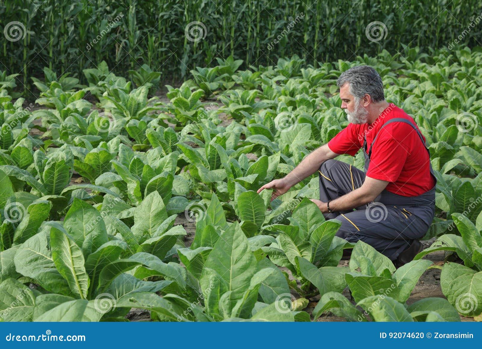 Фермер или agronomist проверяют поле табака