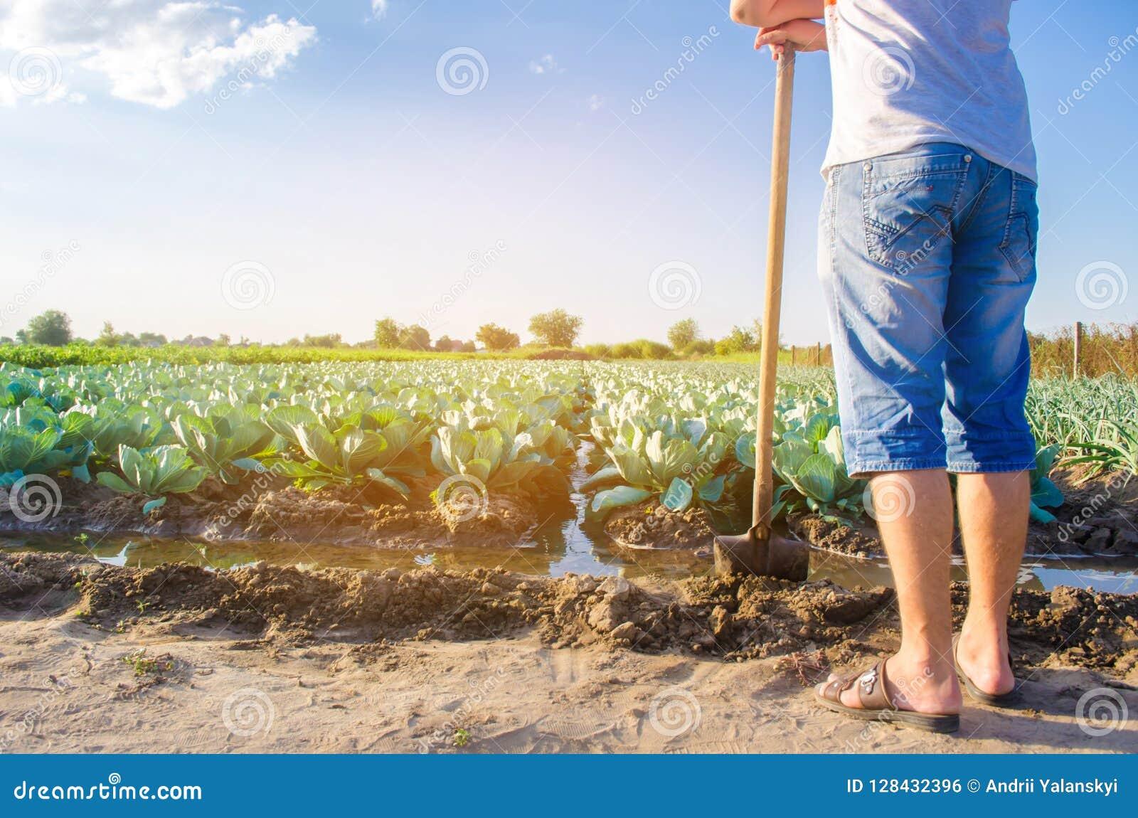Фермер мочит поле естественный полив Плантации капусты растут в поле vegetable строки Земледелие сельского хозяйства