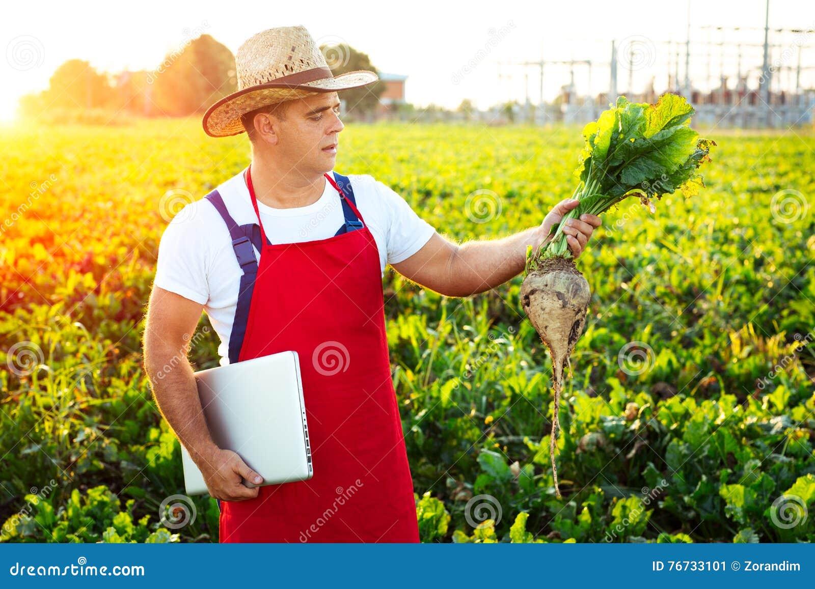 Фермер проверяя качество сахарных свекл