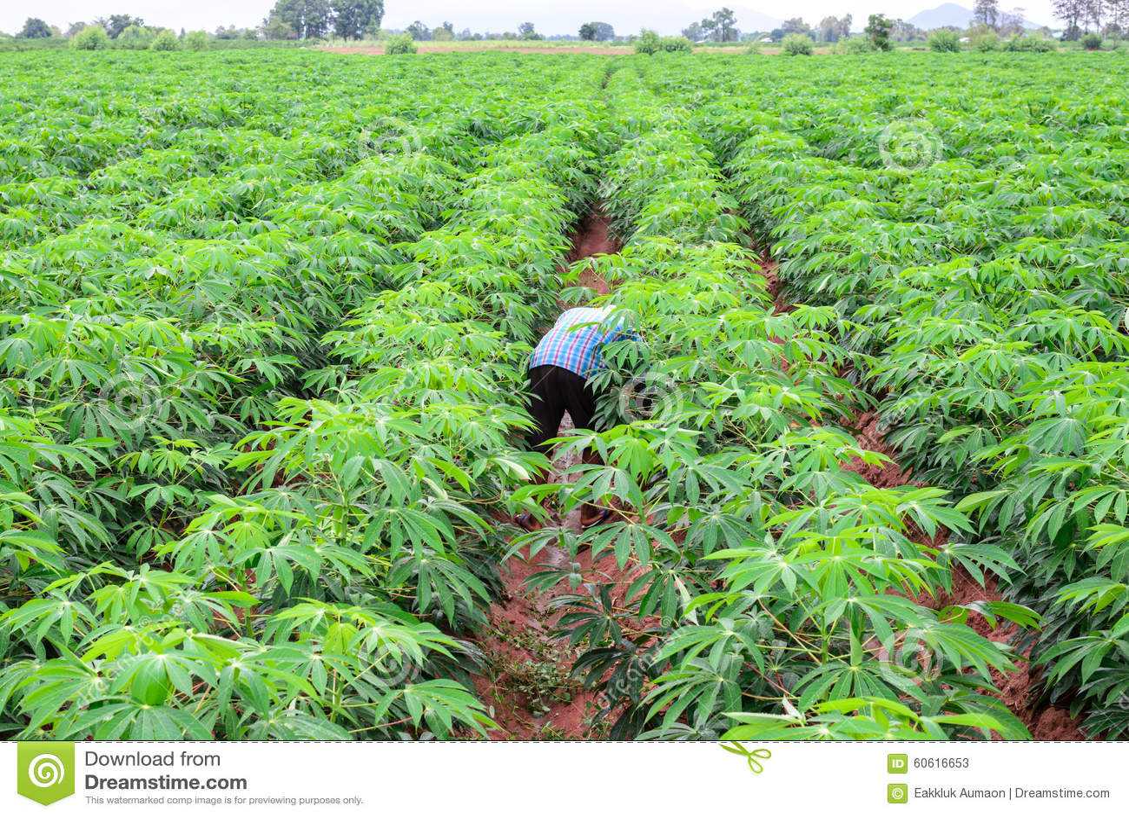 Фермер человека в зеленой рубашке заботит зеленые урожаи кассавы