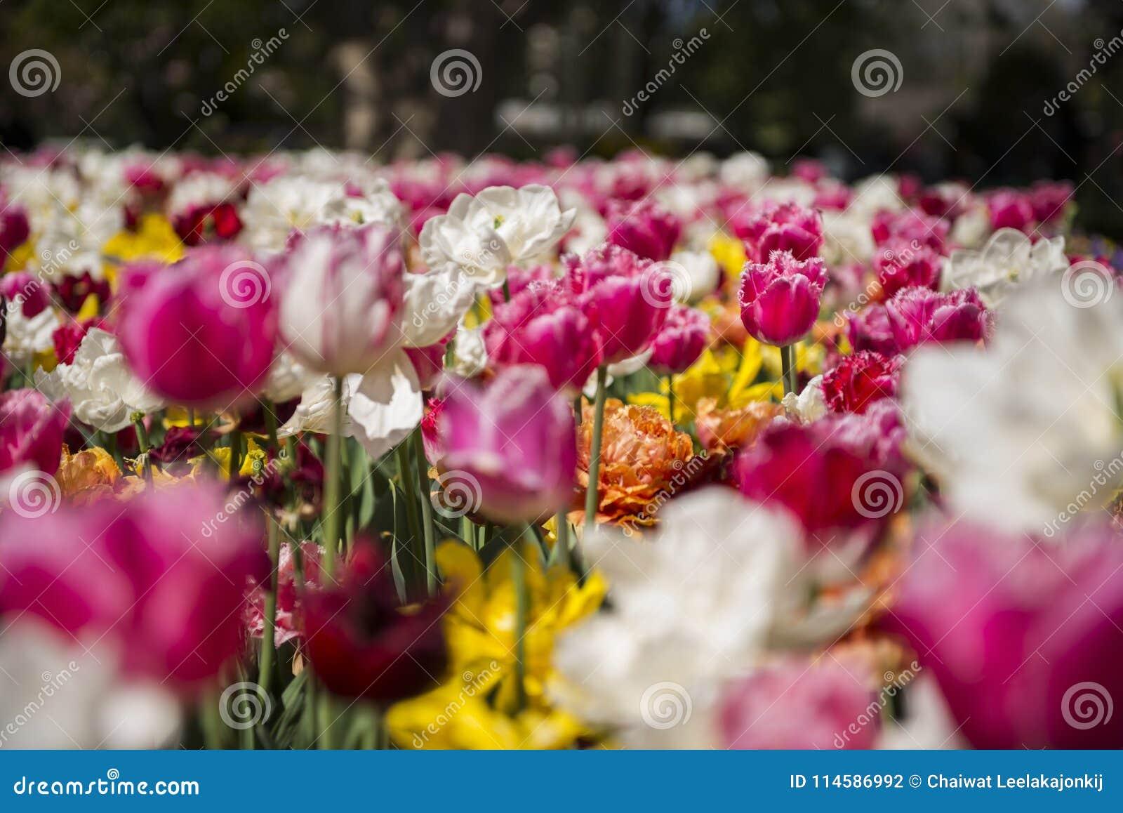 Фестиваль тюльпана в Австралии во время зацветая сезона
