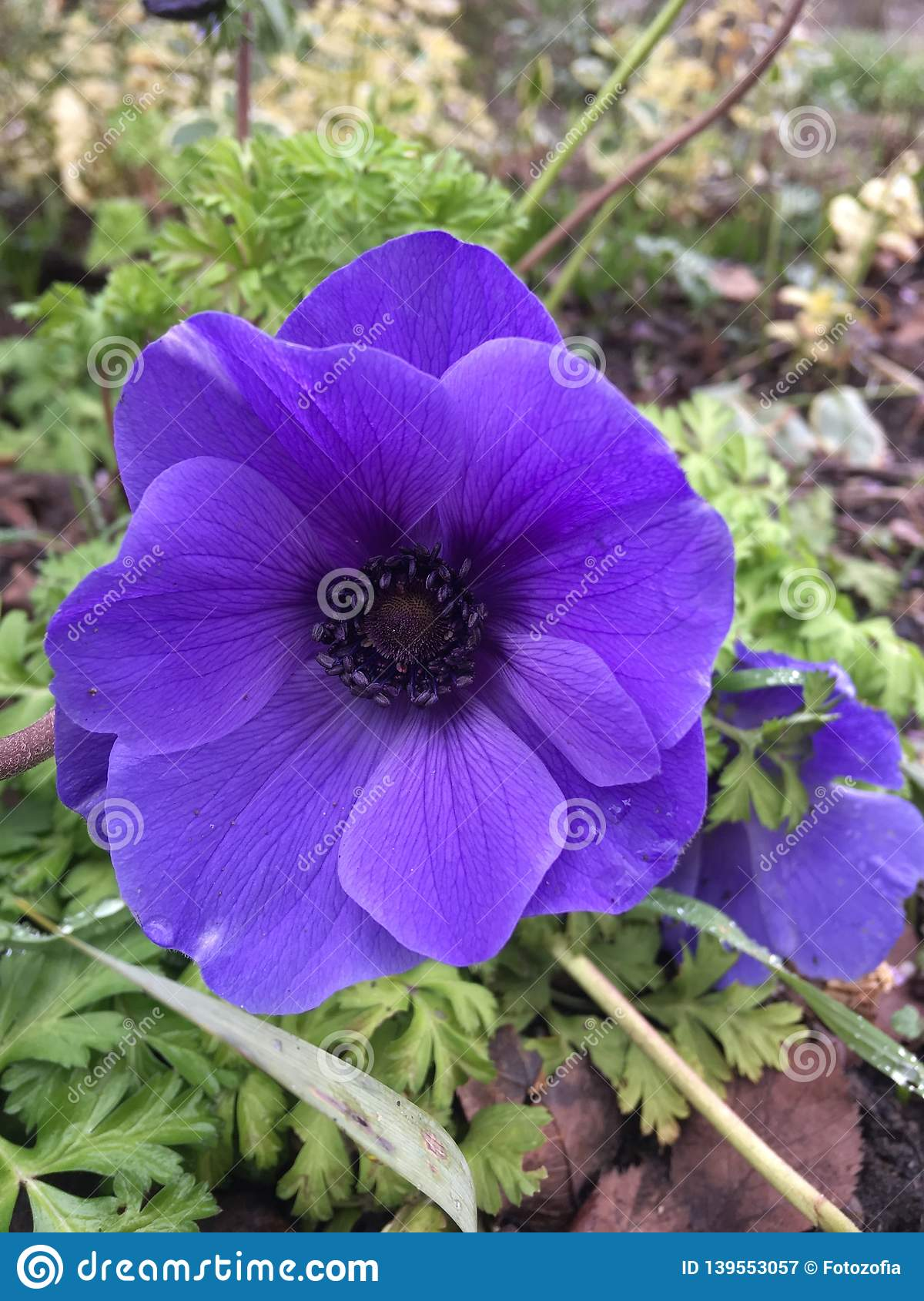 Фиолетовая ветреница