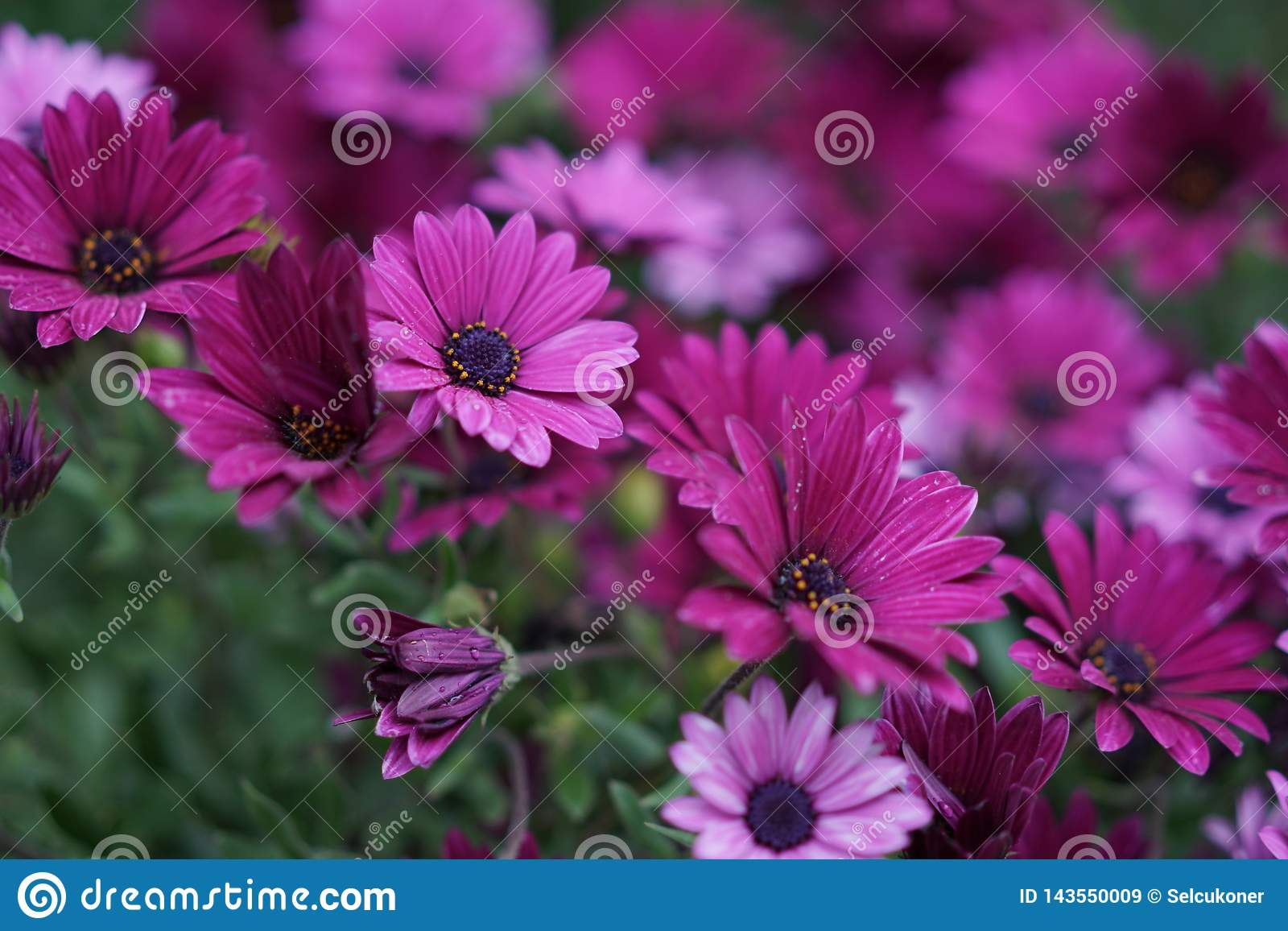 Фиолетовая маргаритка