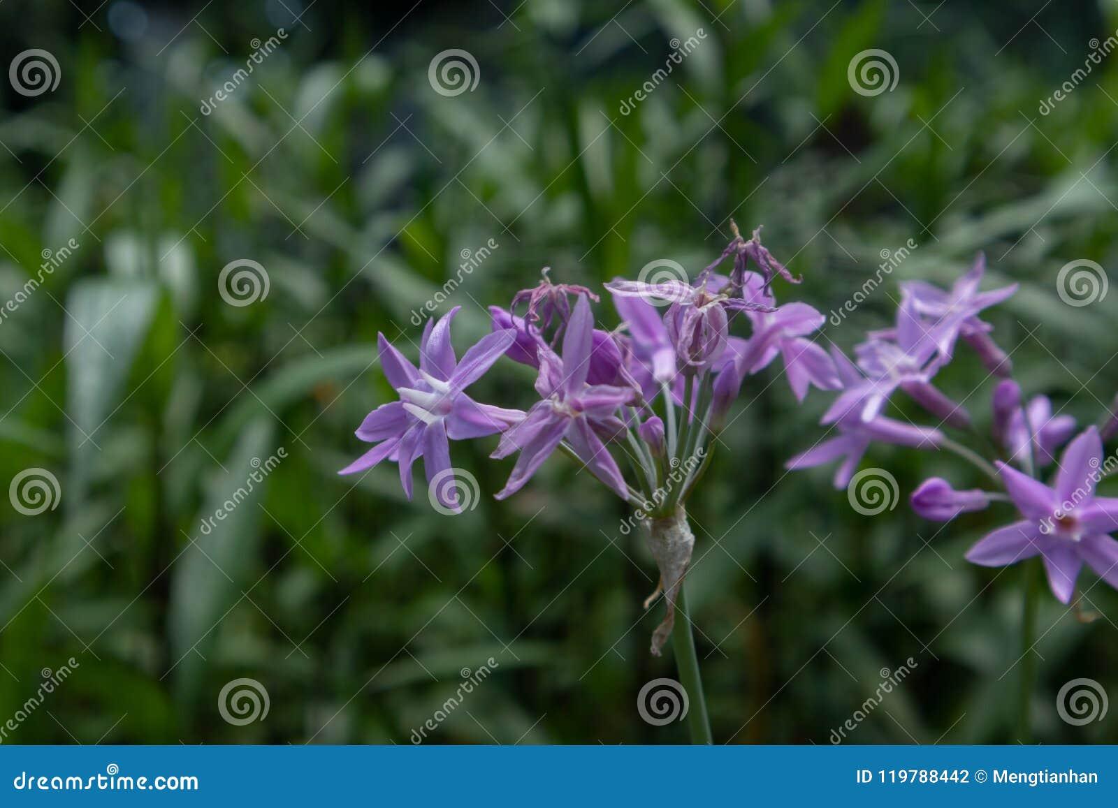 Фиолетовое violacea цветка-Tulbaghia