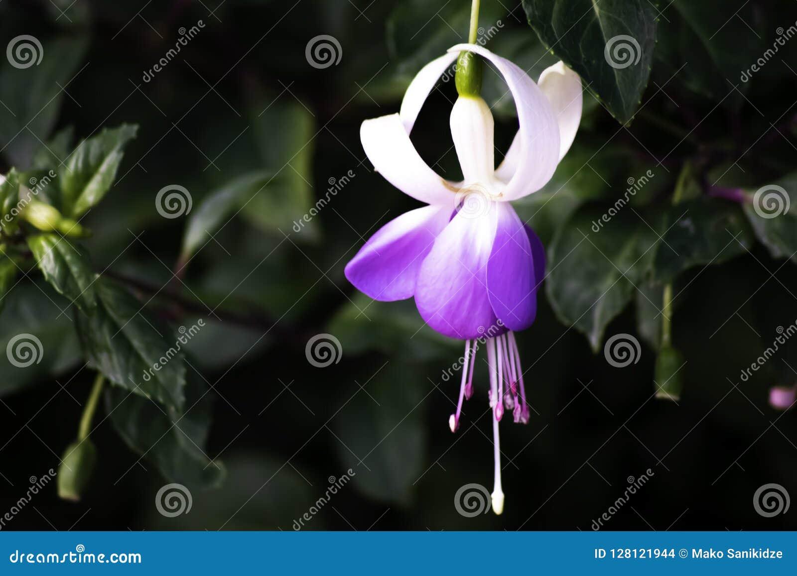 Фиолетовый и белый цветок колокола в саде