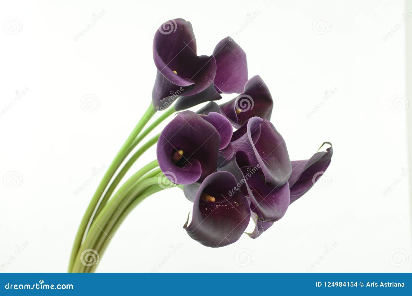 Фиолетовый цветок лилии calla на белизне изолировал предпосылку