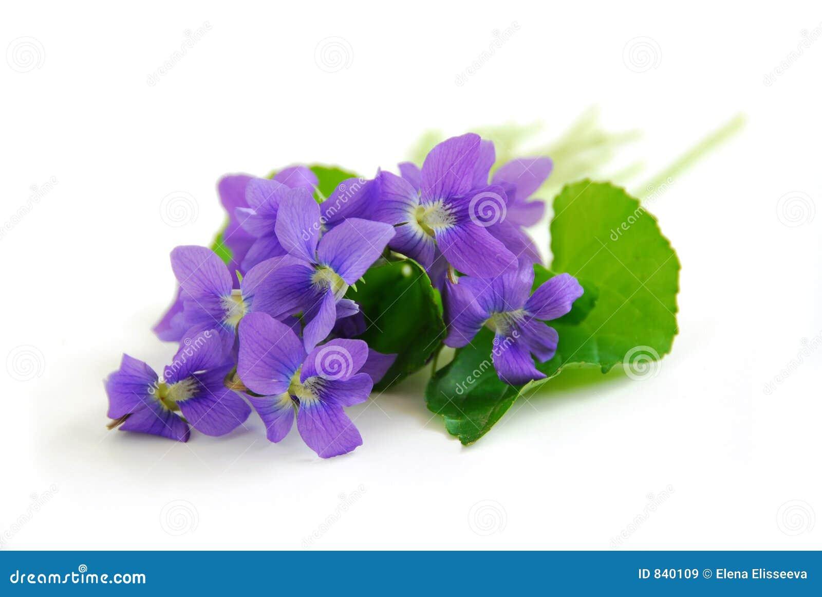 фиолеты предпосылки белые
