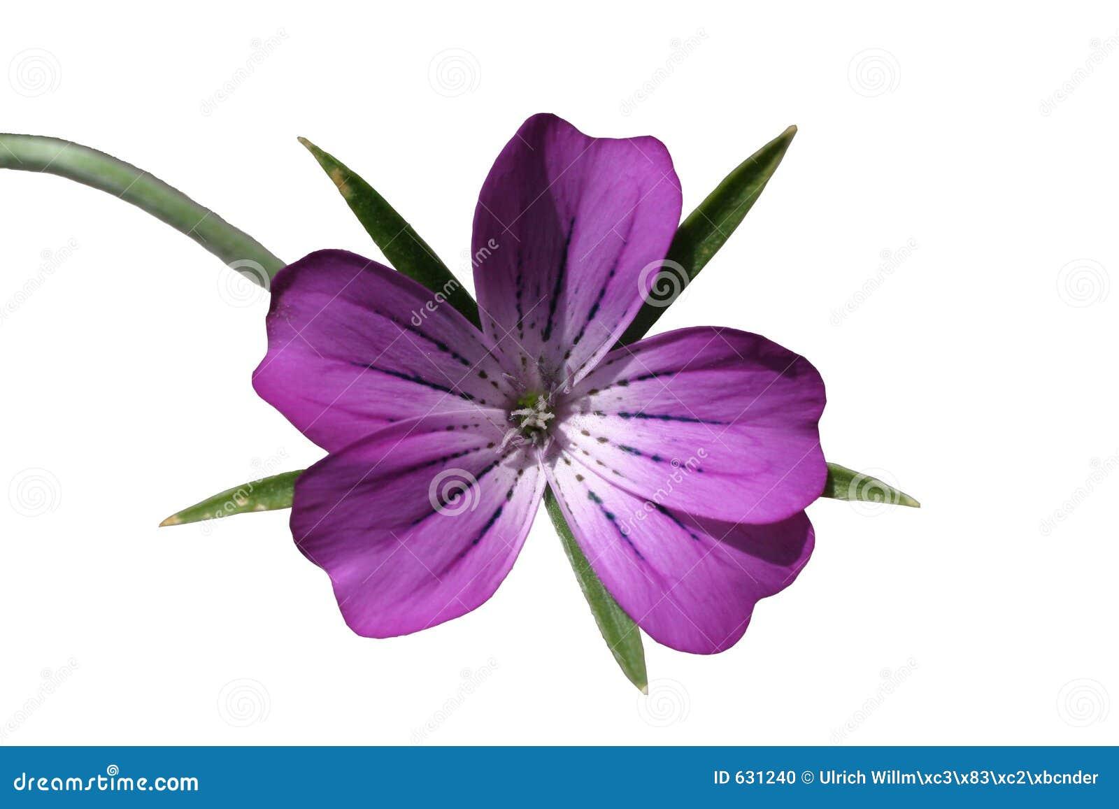 Download фиолет цветка стоковое фото. изображение насчитывающей мягко - 631240