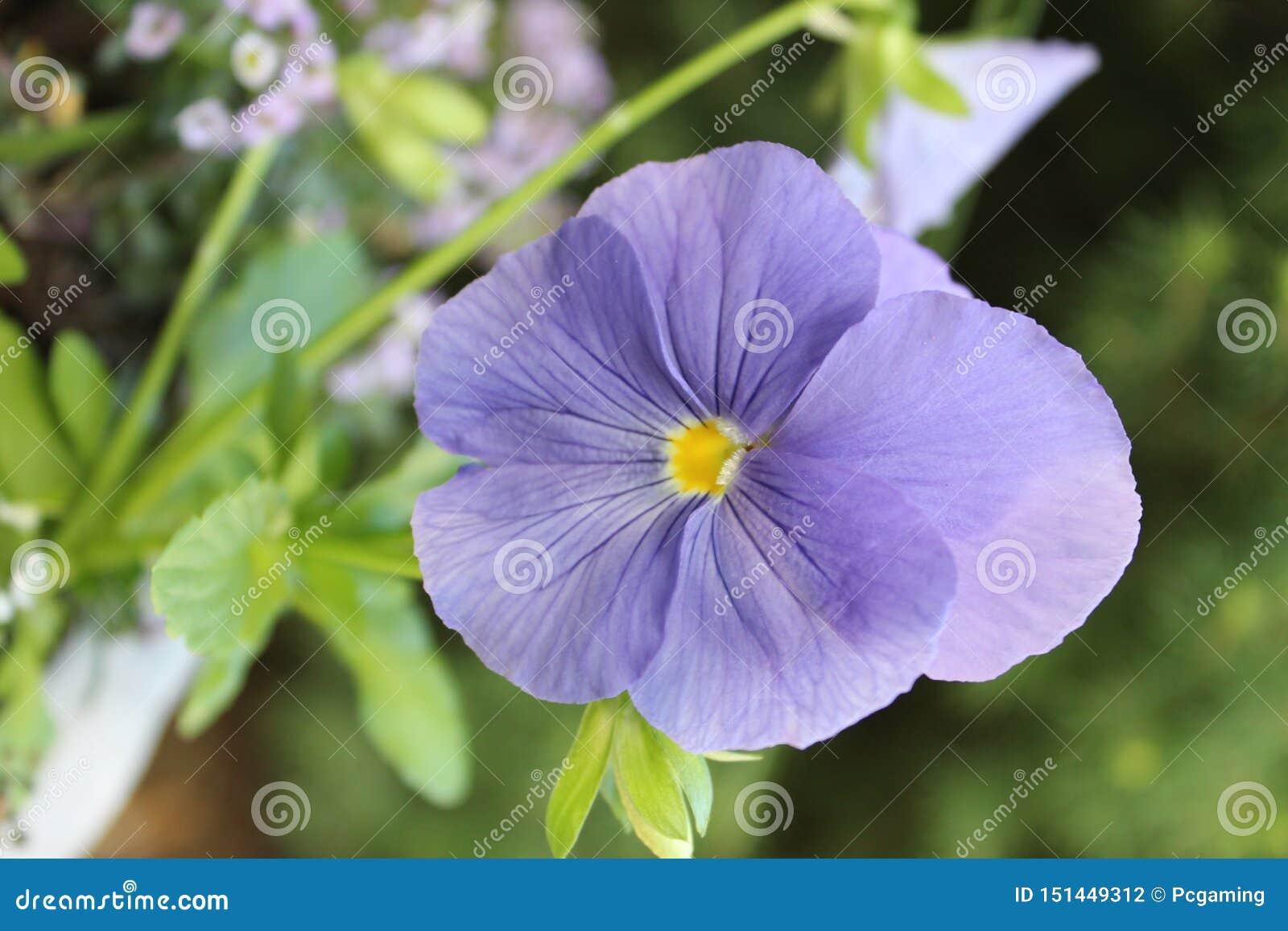 Фиолет Birdfoot