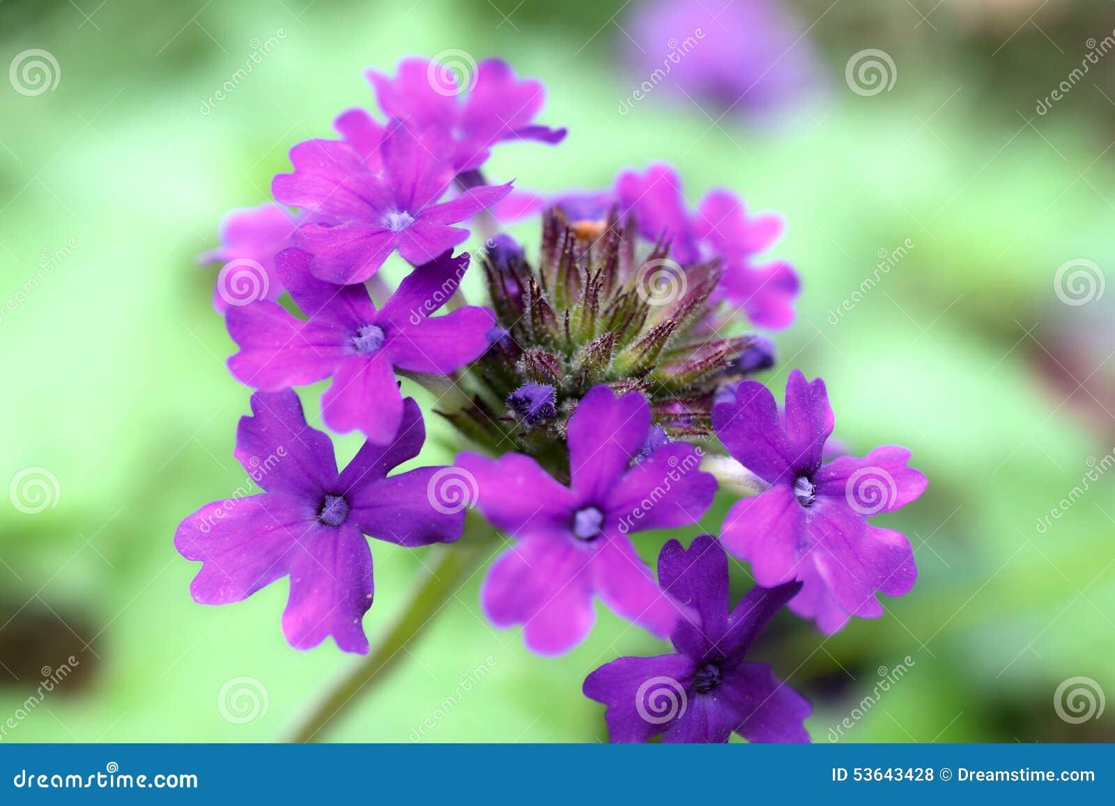 Фиолетовая группа гибрида вербены