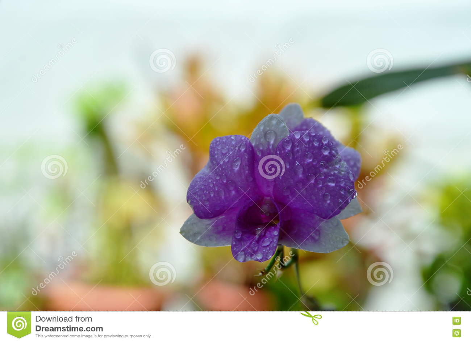Download Фиолетовая орхидея зацветая в саде задворк Стоковое Фото - изображение насчитывающей лепесток, цветок: 72285912
