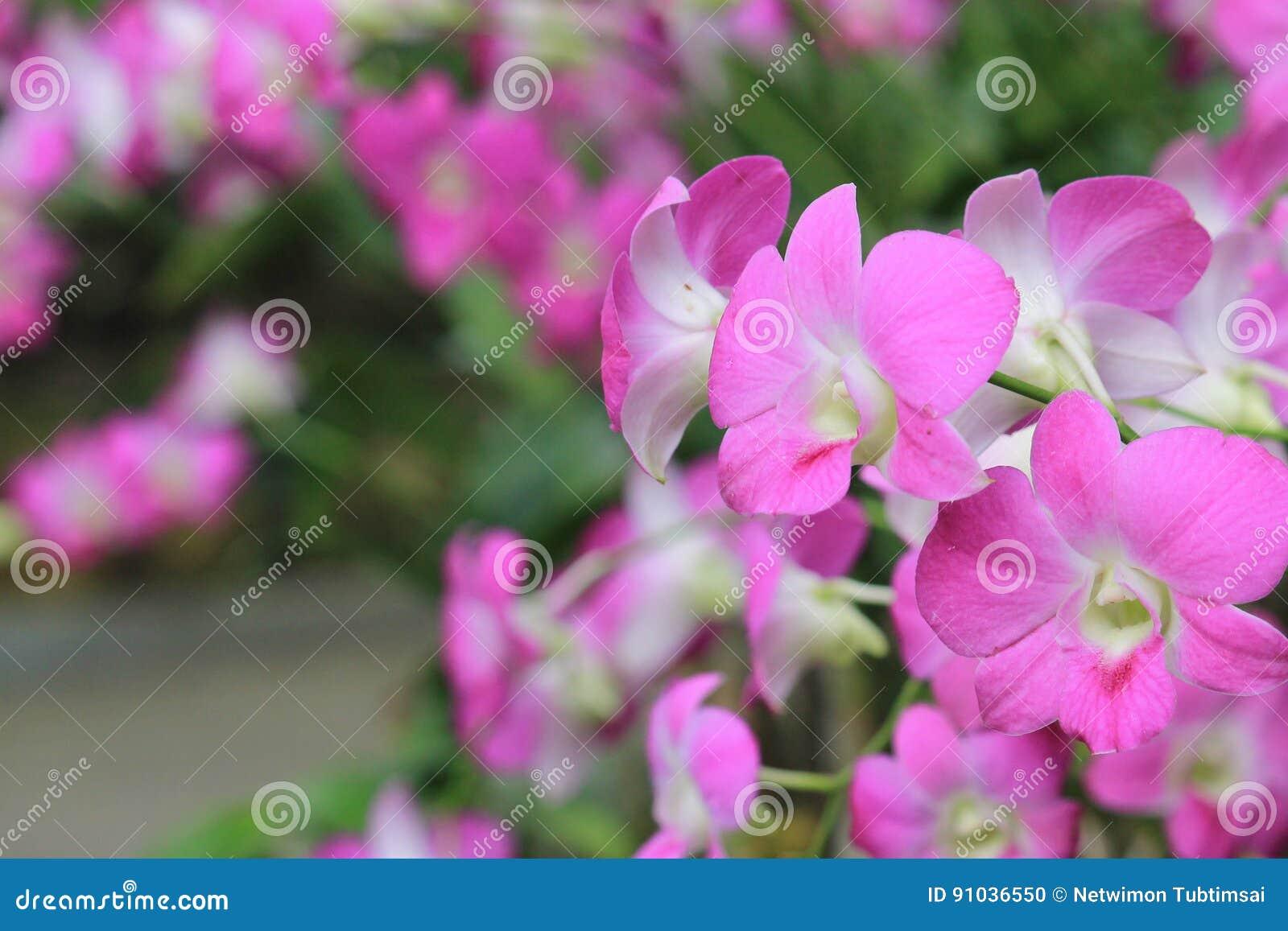 Фиолетовая орхидея цветет в саде в лете