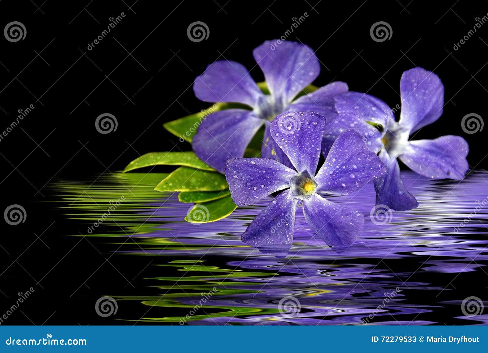 Download Фиолетовое отражение воды цветка мирта Стоковое Изображение - изображение насчитывающей отразите, пульсация: 72279533