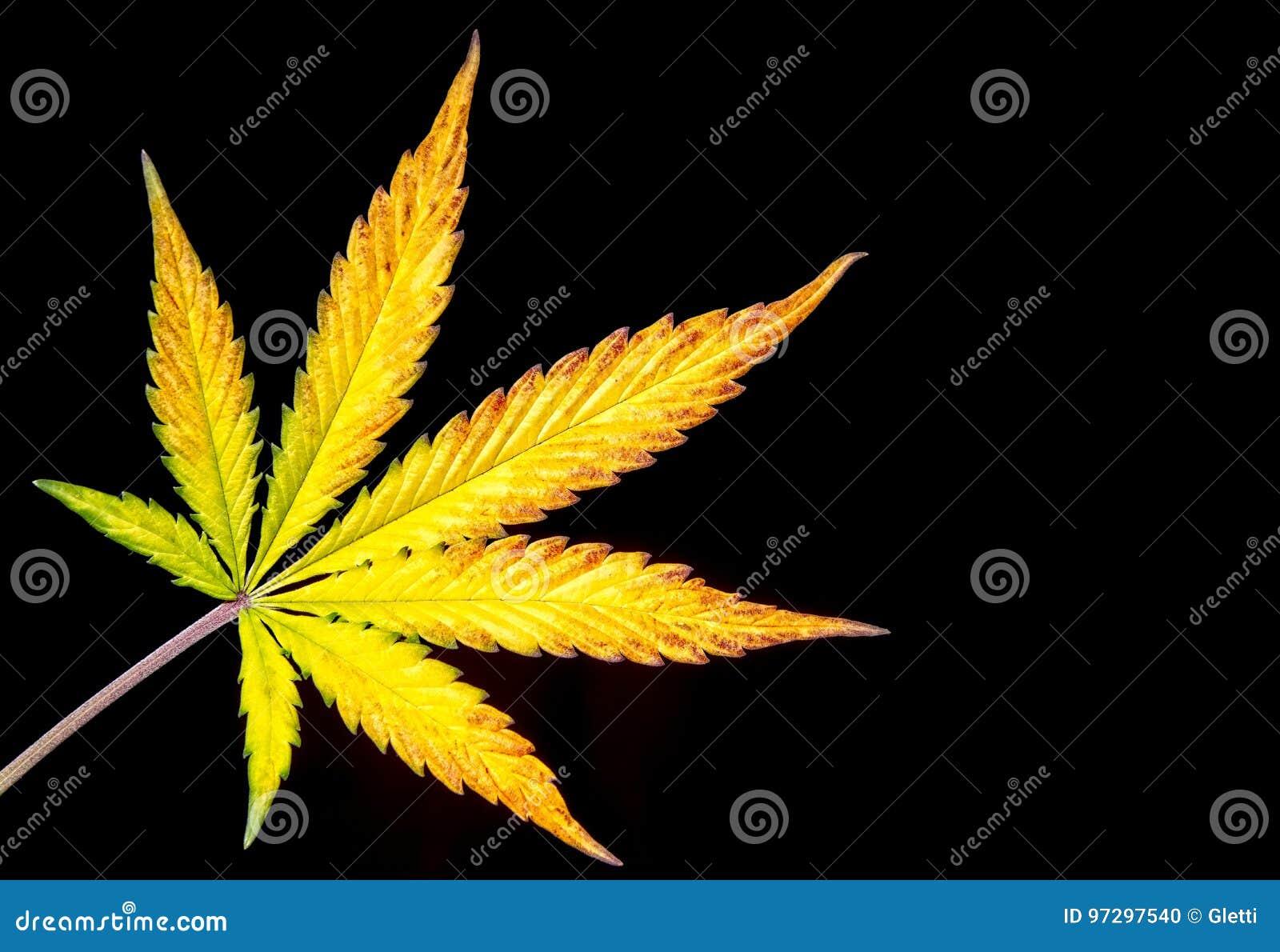 Конопля с цветами желтыми время действие марихуаны