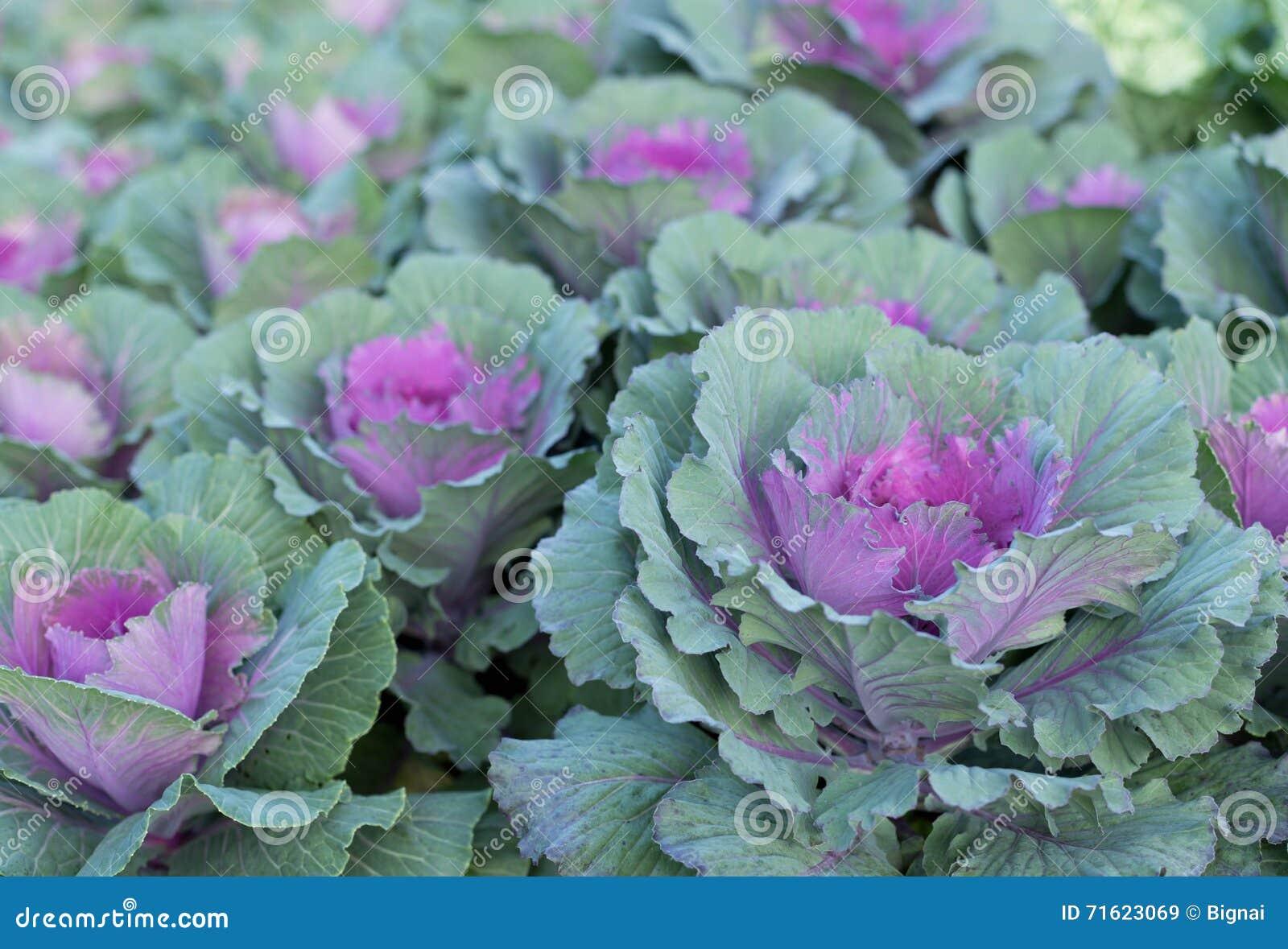 Фиолетовые орнаментальные заводы капусты