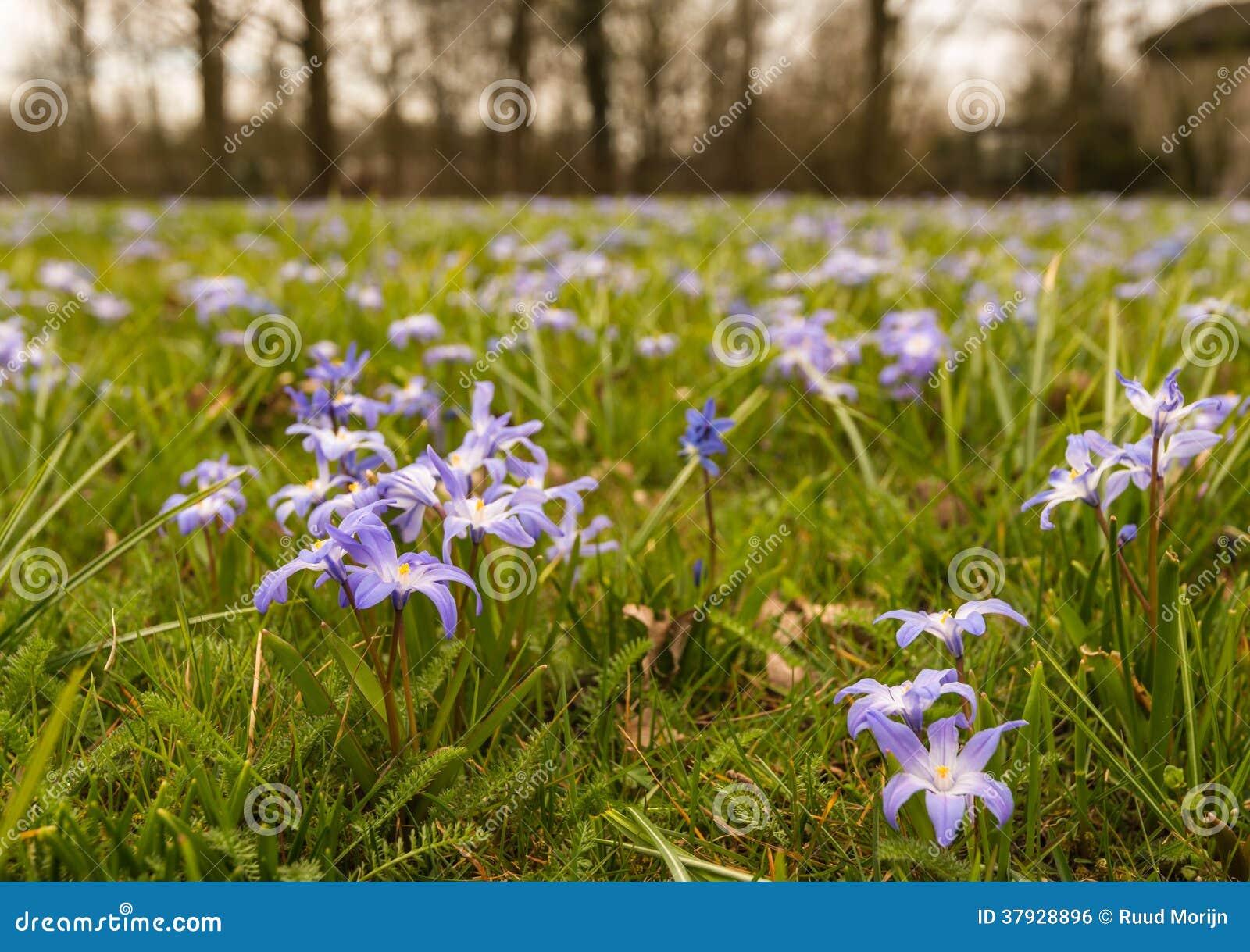 Фиолетовые цветя заводы Scilla растя между травой.