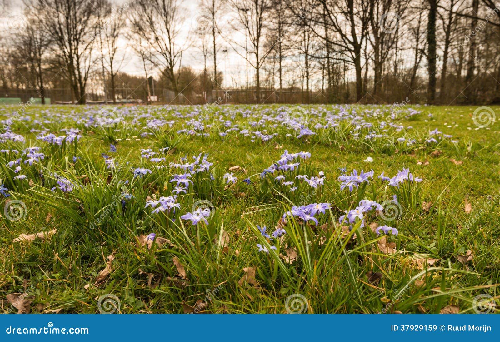 Фиолетовые цветя заводы Scilla растя между травой