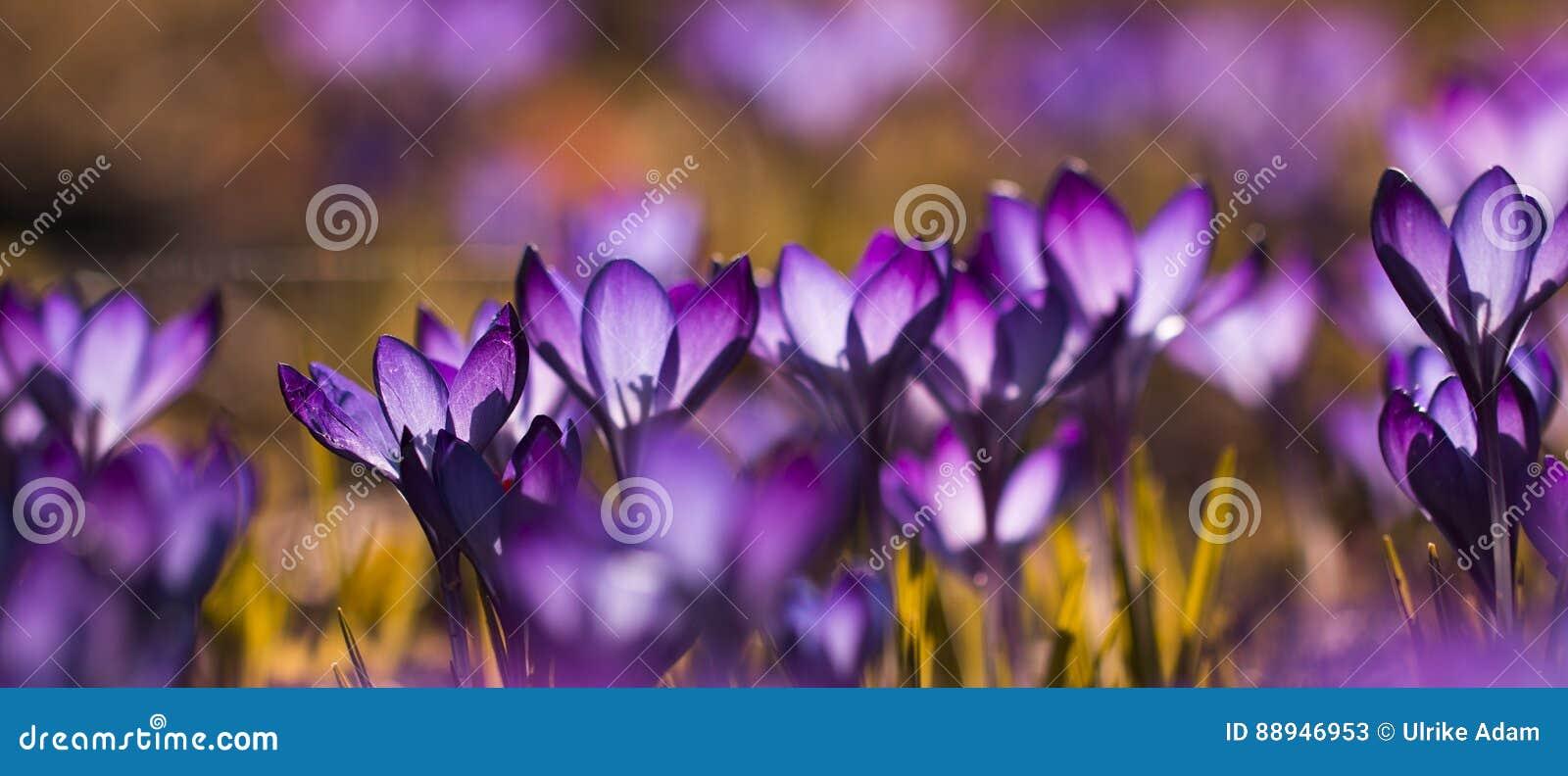 Фиолетовый крокус крокусов - затопленный свет