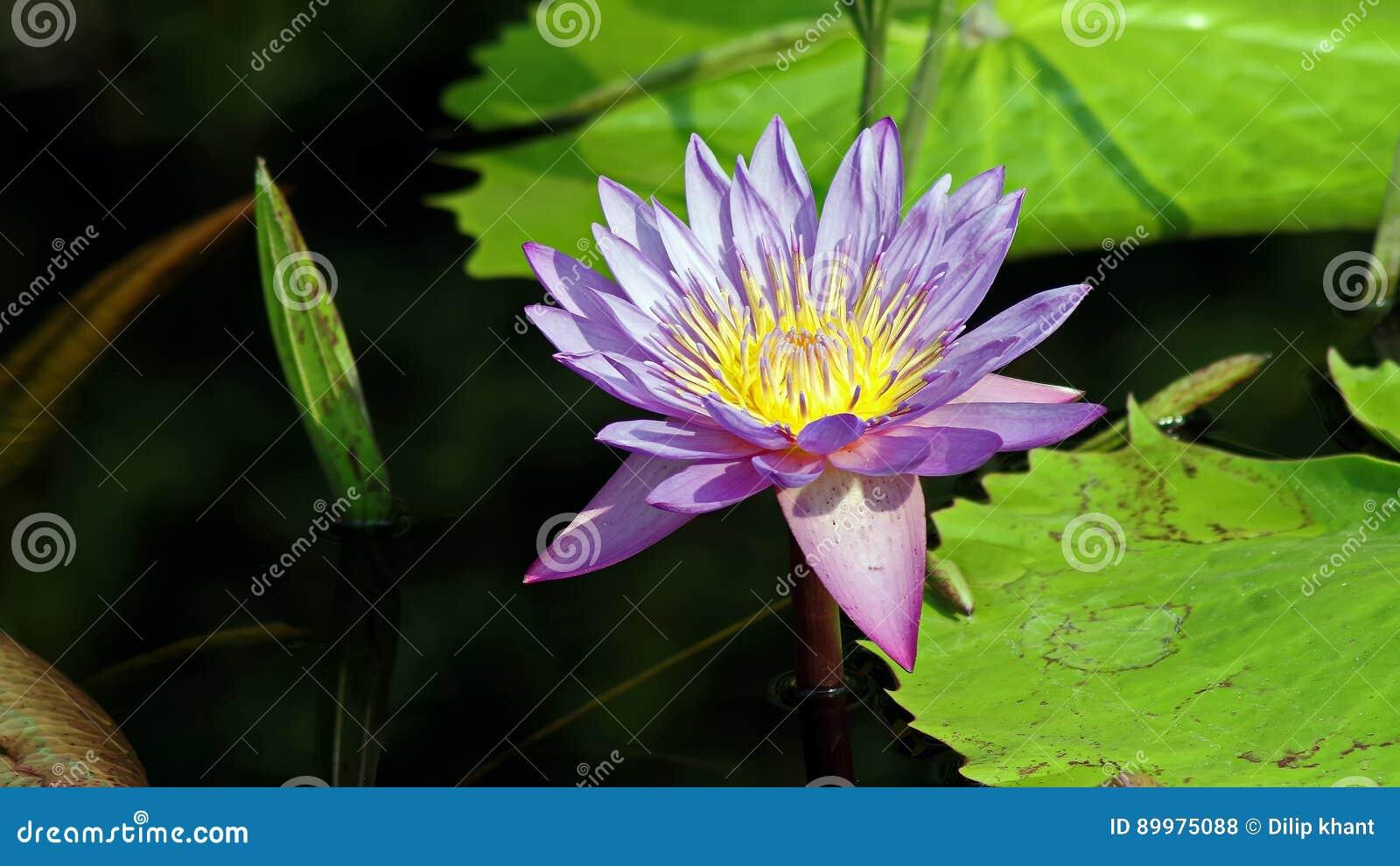 Фиолетовый лотос или Lilly
