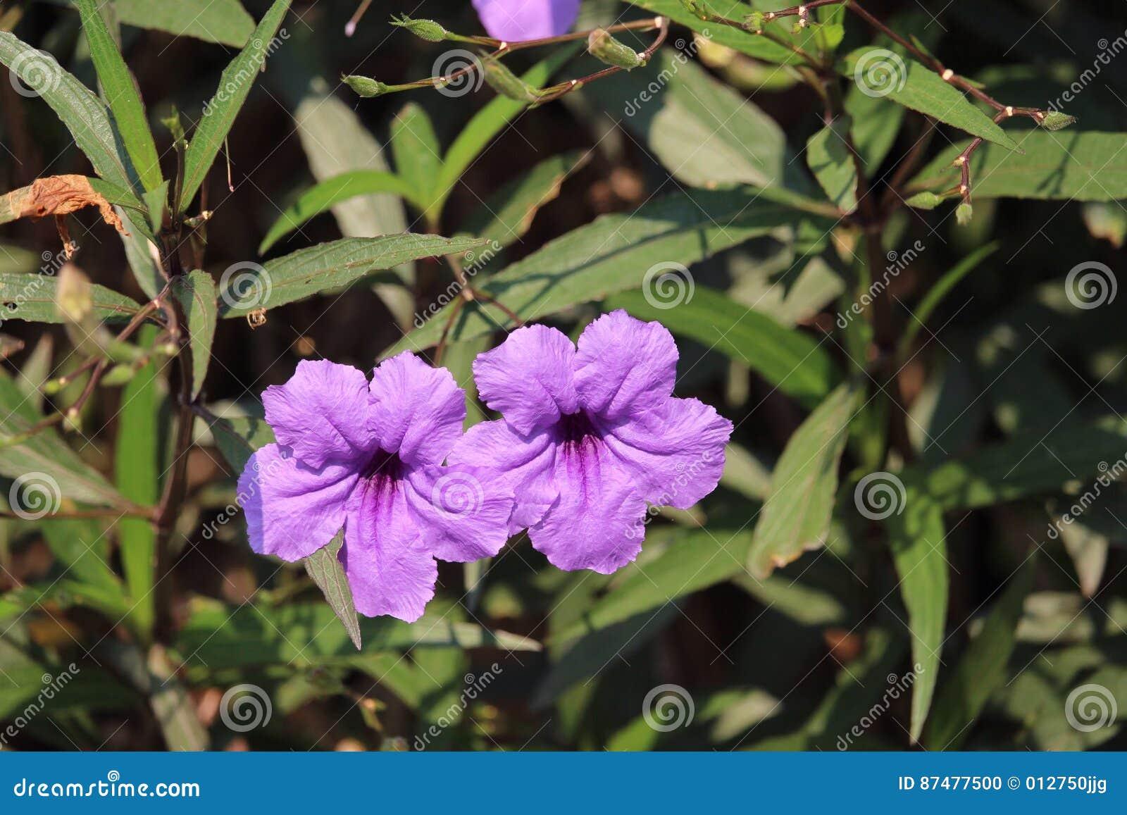 Фиолетовый симплекс Rueilla