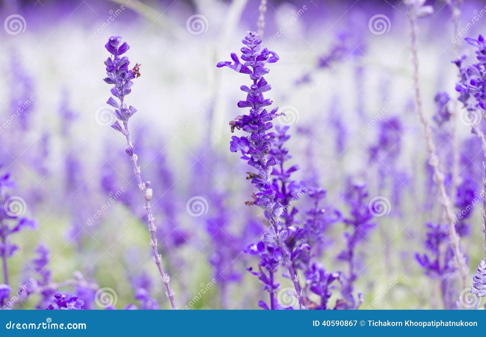 Фиолетовый цветок лаванд