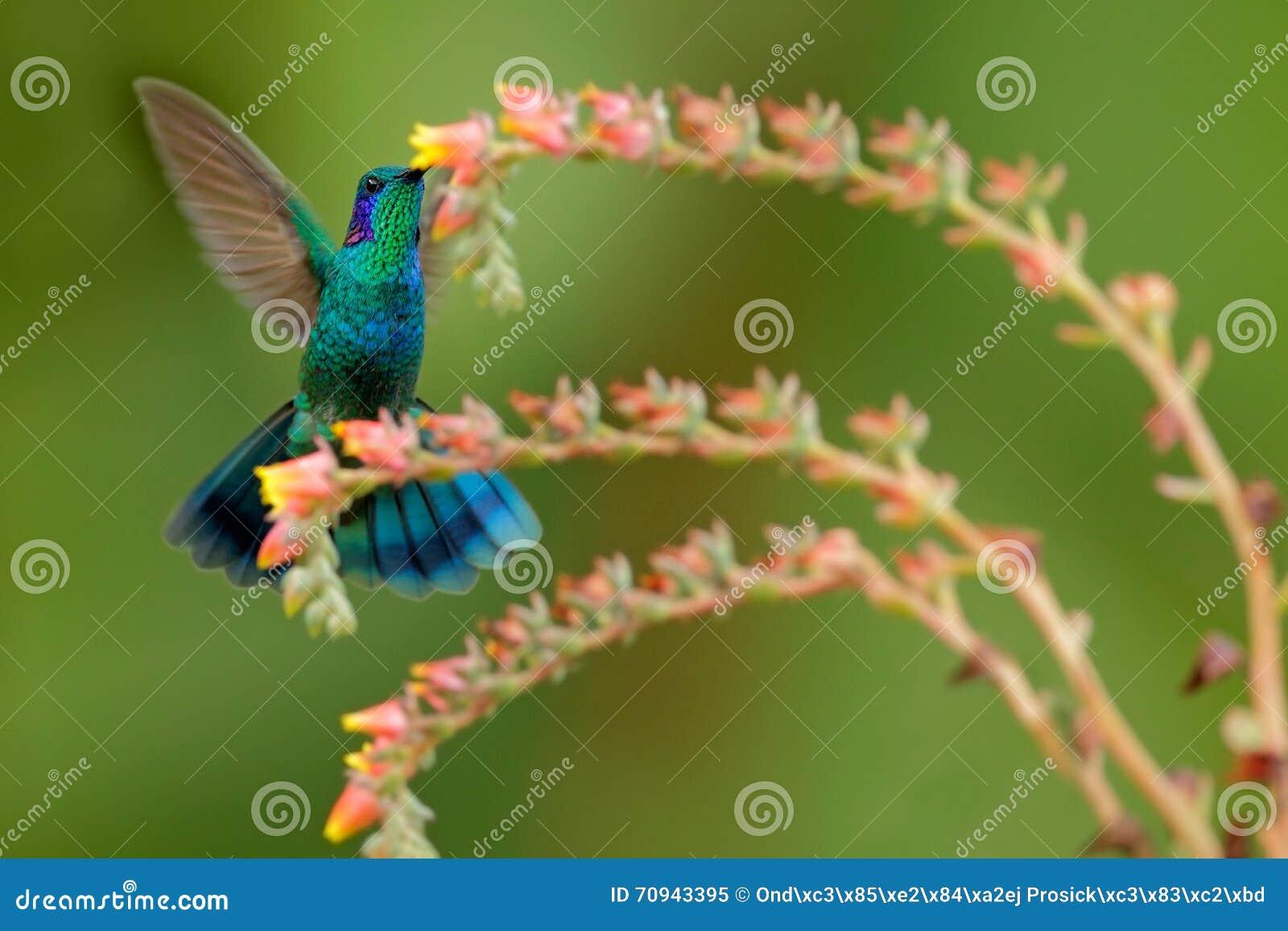 Фиолетов-ухо колибри зеленое, thalassinus Colibri, попытка рядом с красивым цветком оранжевого желтого цвета Пинга в естественной
