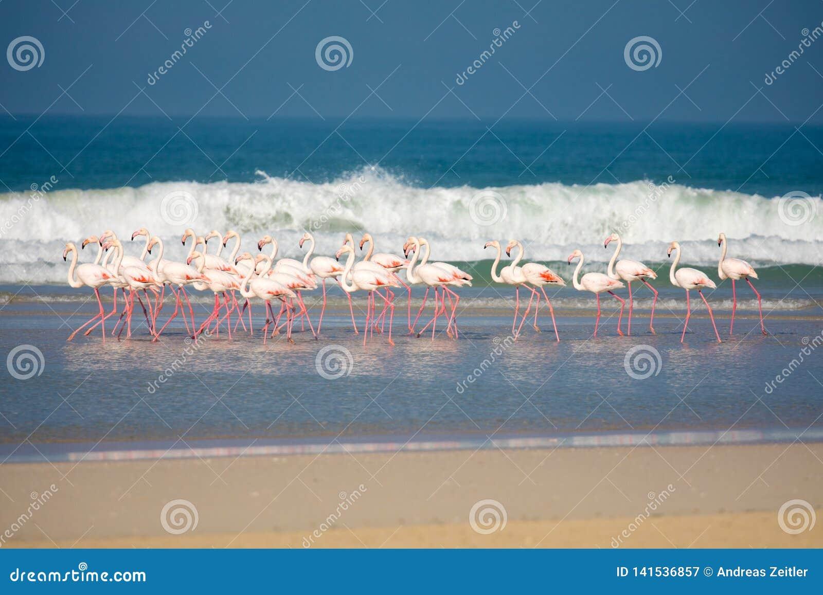 Фламинго в заповеднике De Mond прибрежном, Южной Африке