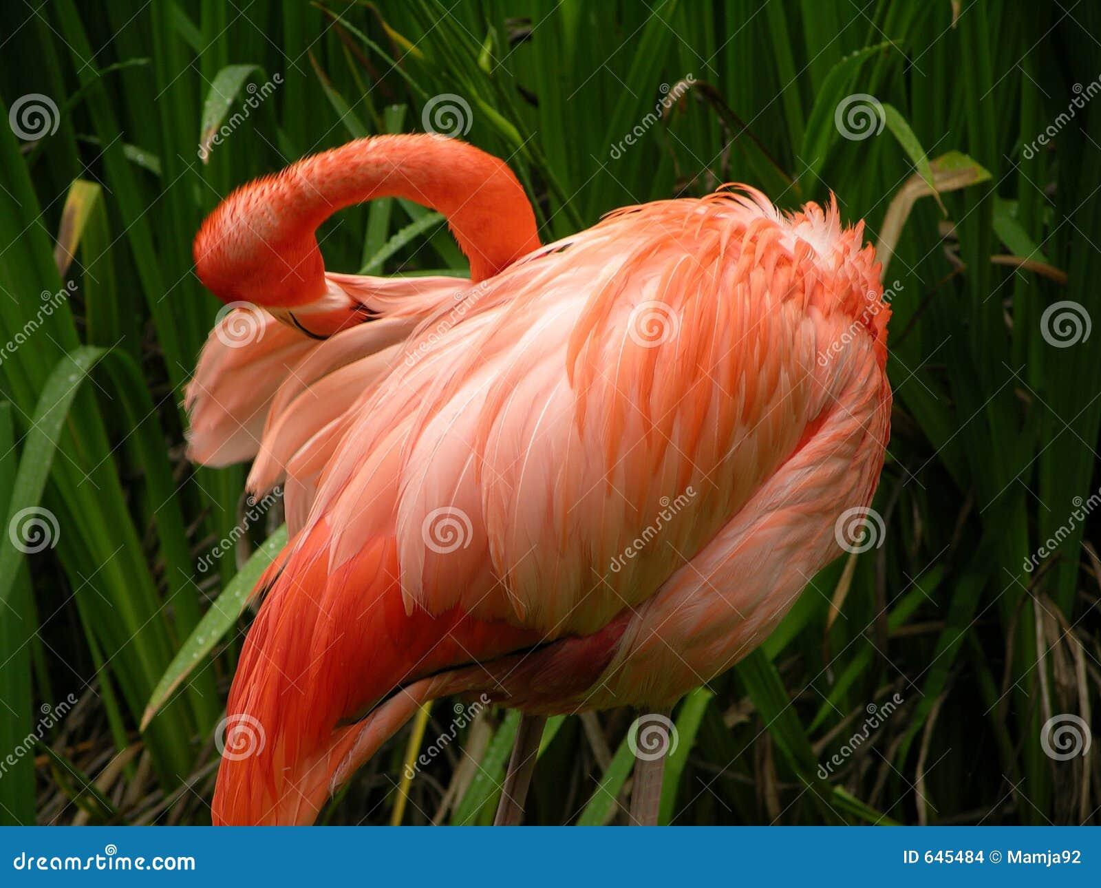 Download фламинго стоковое фото. изображение насчитывающей пинк - 645484