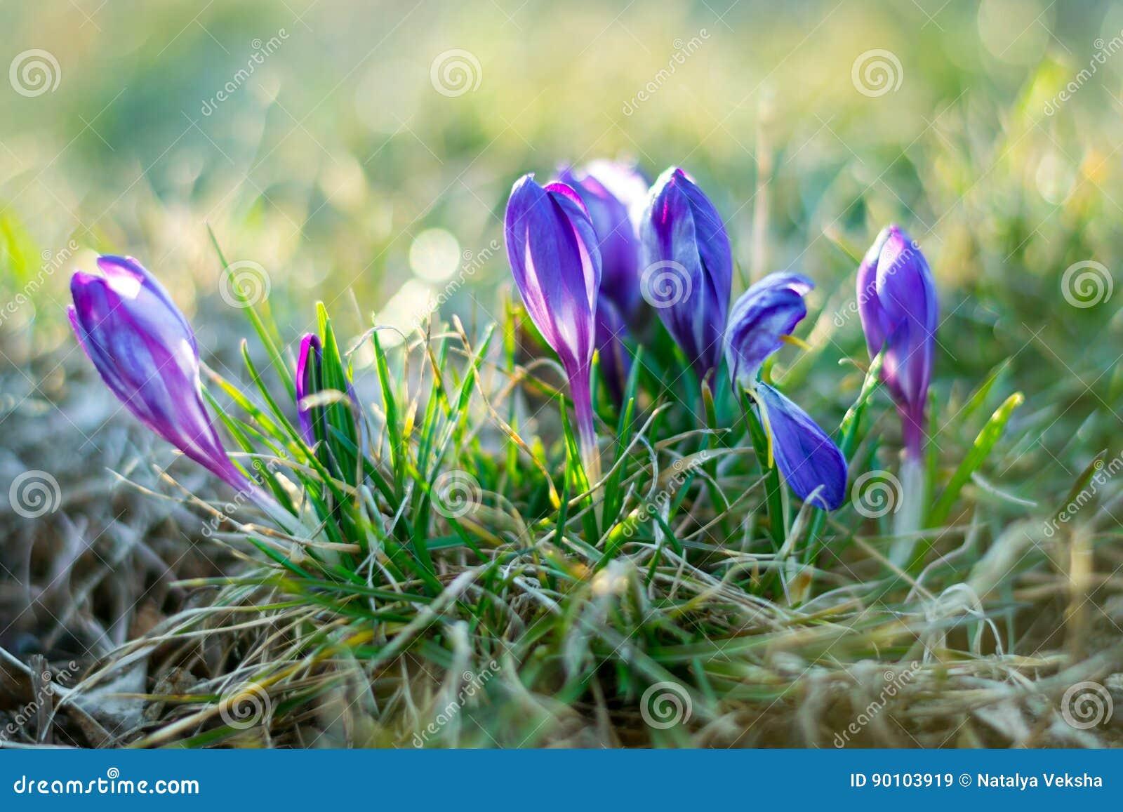 Фокус фиолетового крокуса крокусов sativus мягкий и отраженное bokeh
