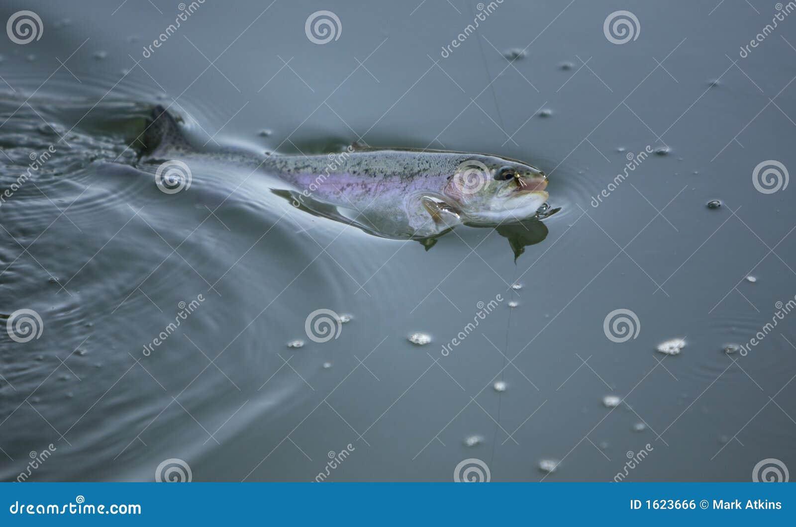 форель рыболовства