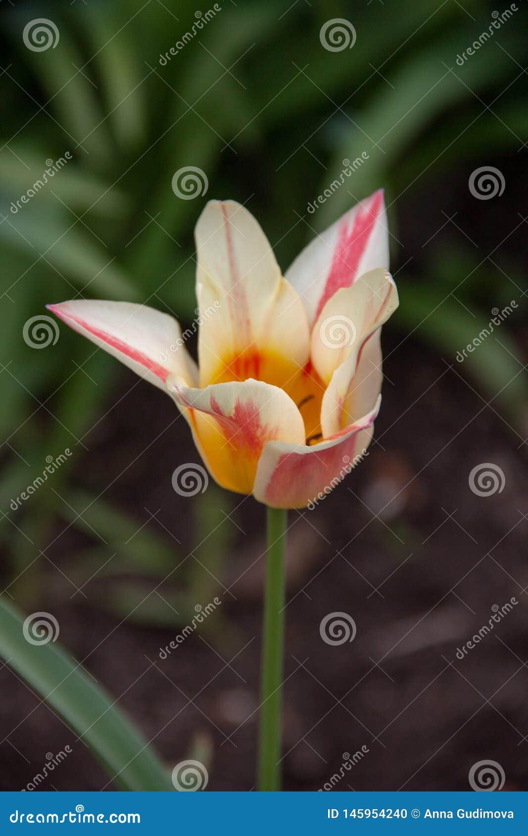 Фотография красивого multicolor тюльпана в саде