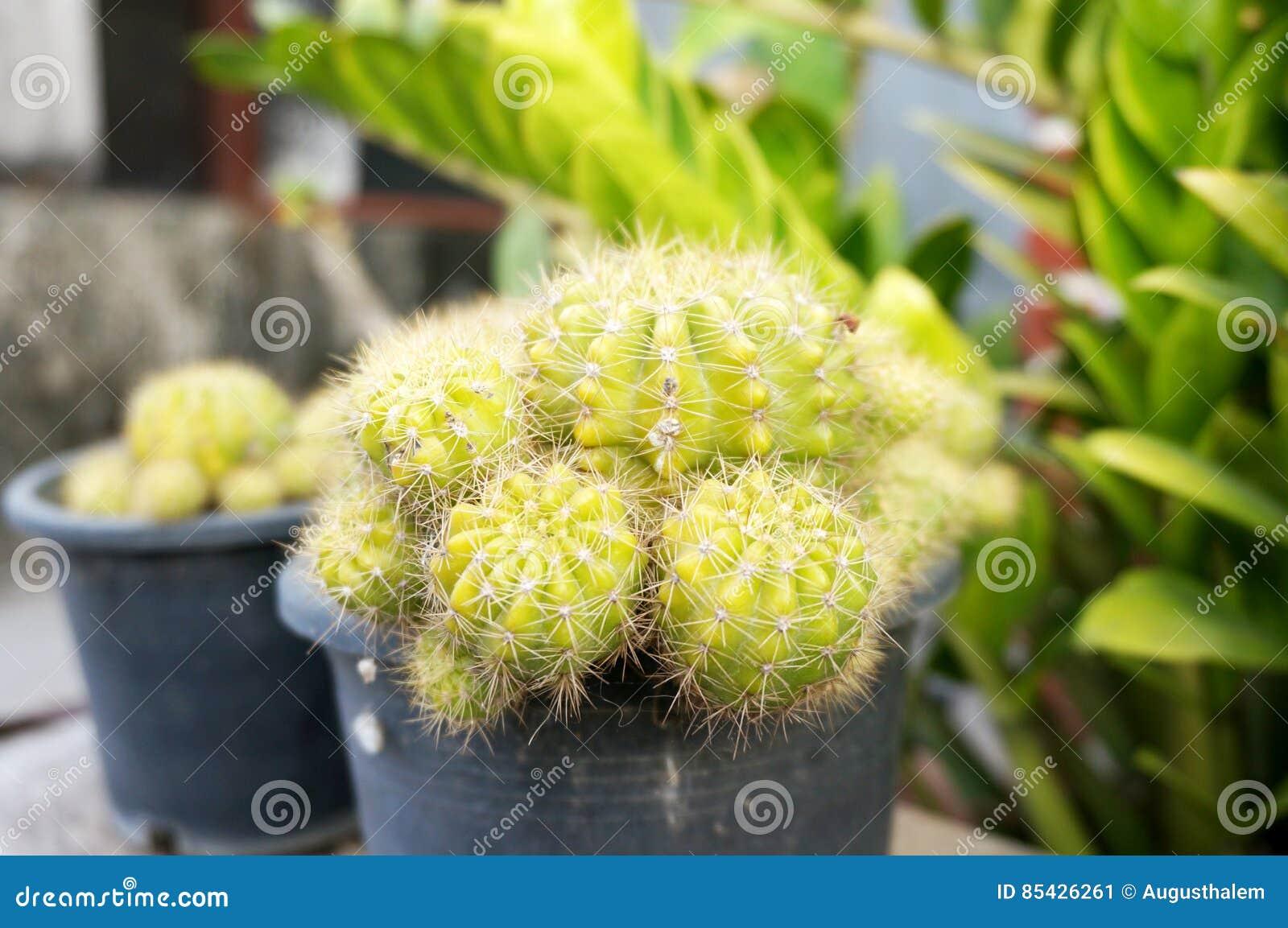 Фотоснимок макроса зеленого золотого кактуса шарика