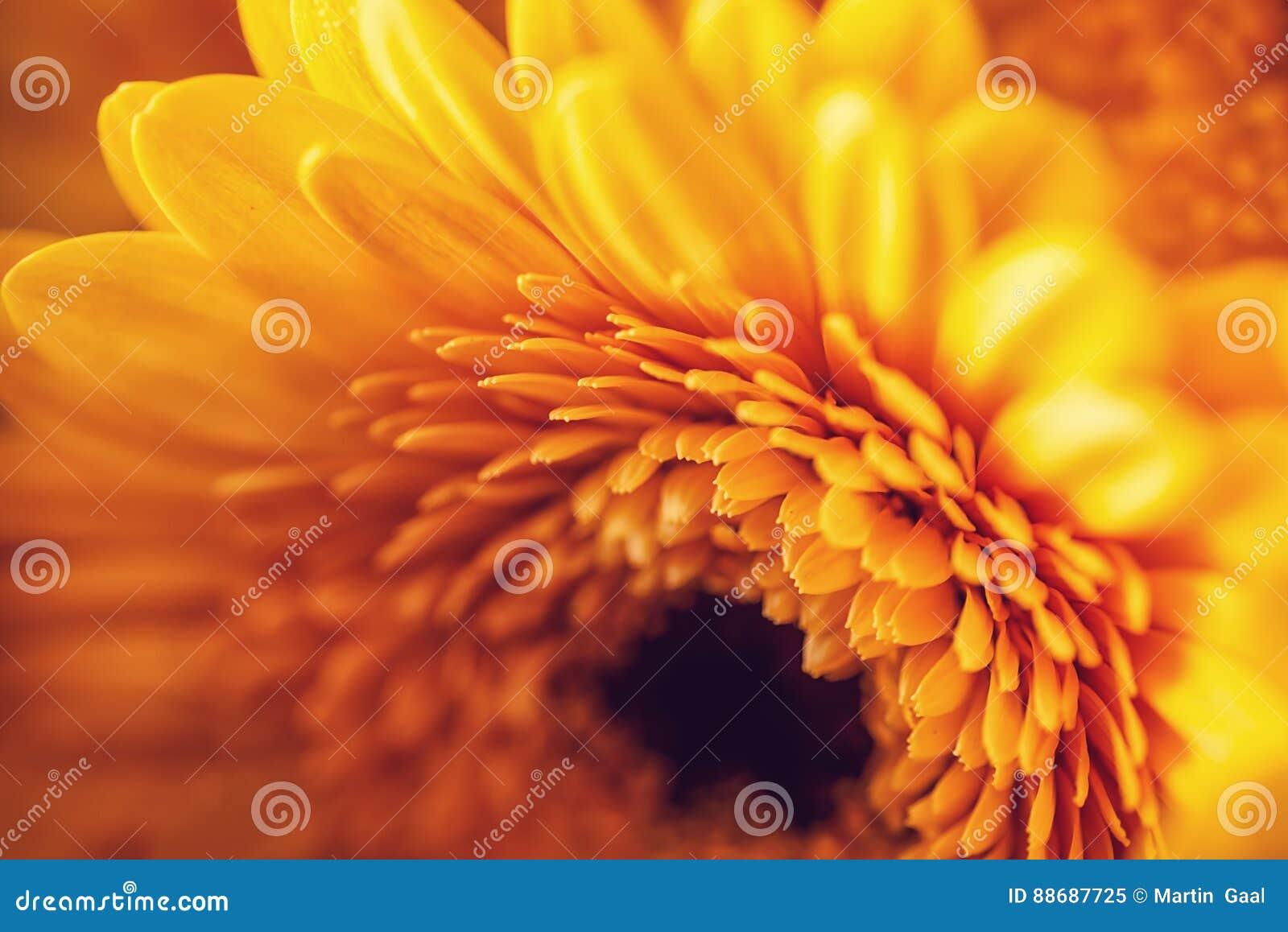 Фото желтых gerberas, фотографии макроса и предпосылки цветков Желтая маргаритка