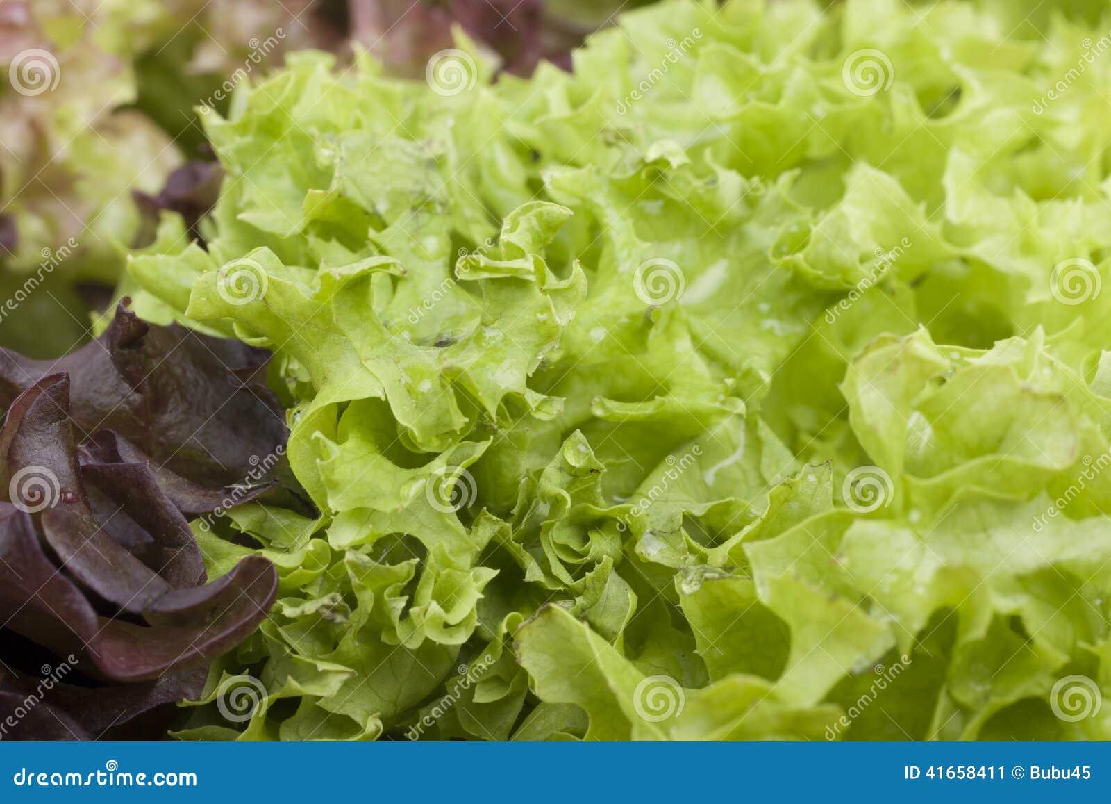 Фото конца-вверх свежих листьев салата