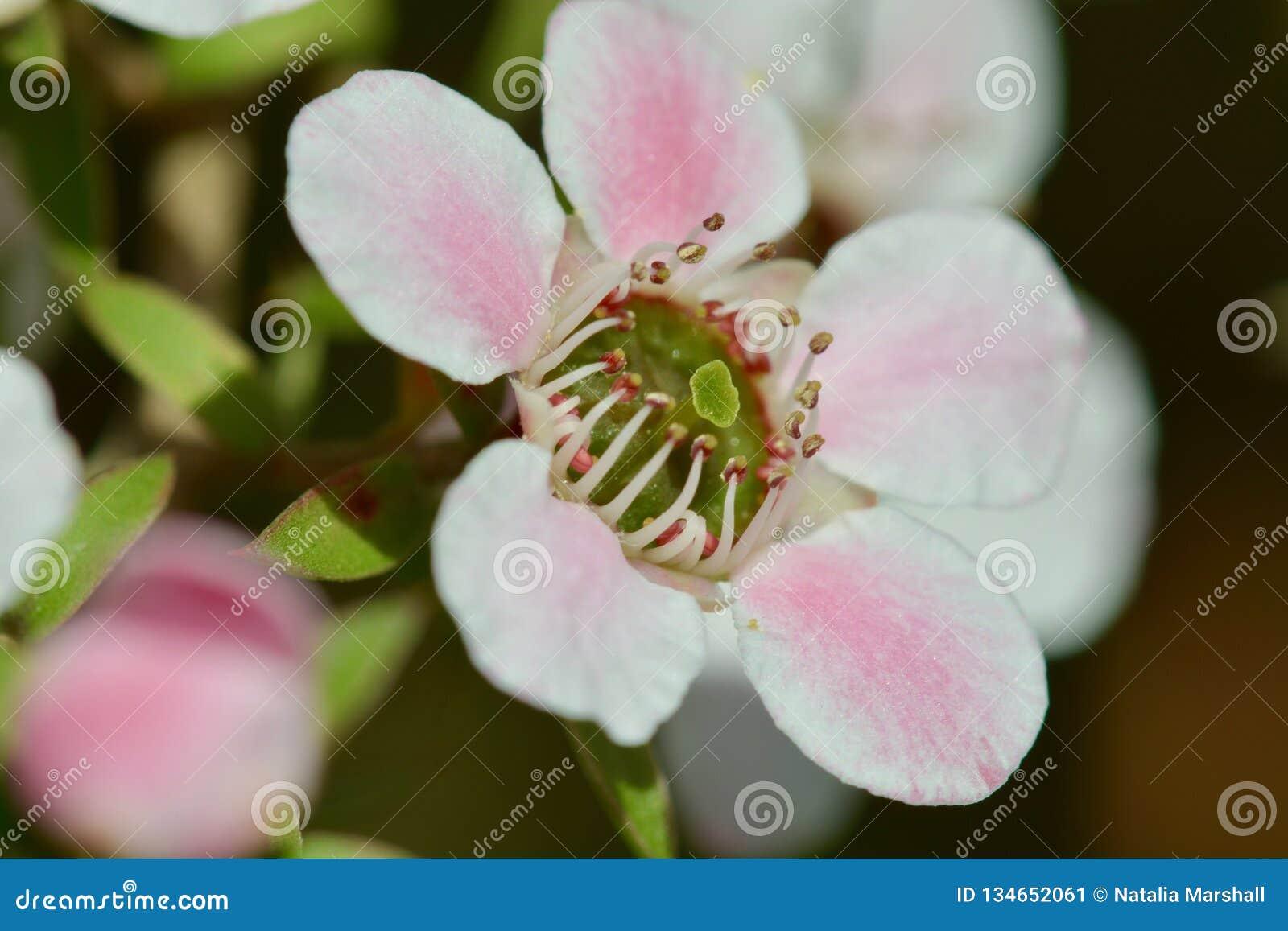 Фото макроса красивого scoparium Leptospermum цветка Manuka, или teatree Новой Зеландии, источник чудесного меда Manuka