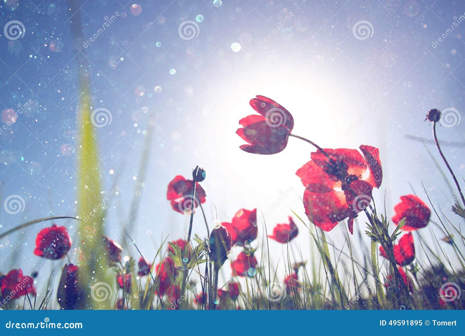 Фото низкого угла красных маков против неба с светом разрывало и светами яркого блеска сверкная