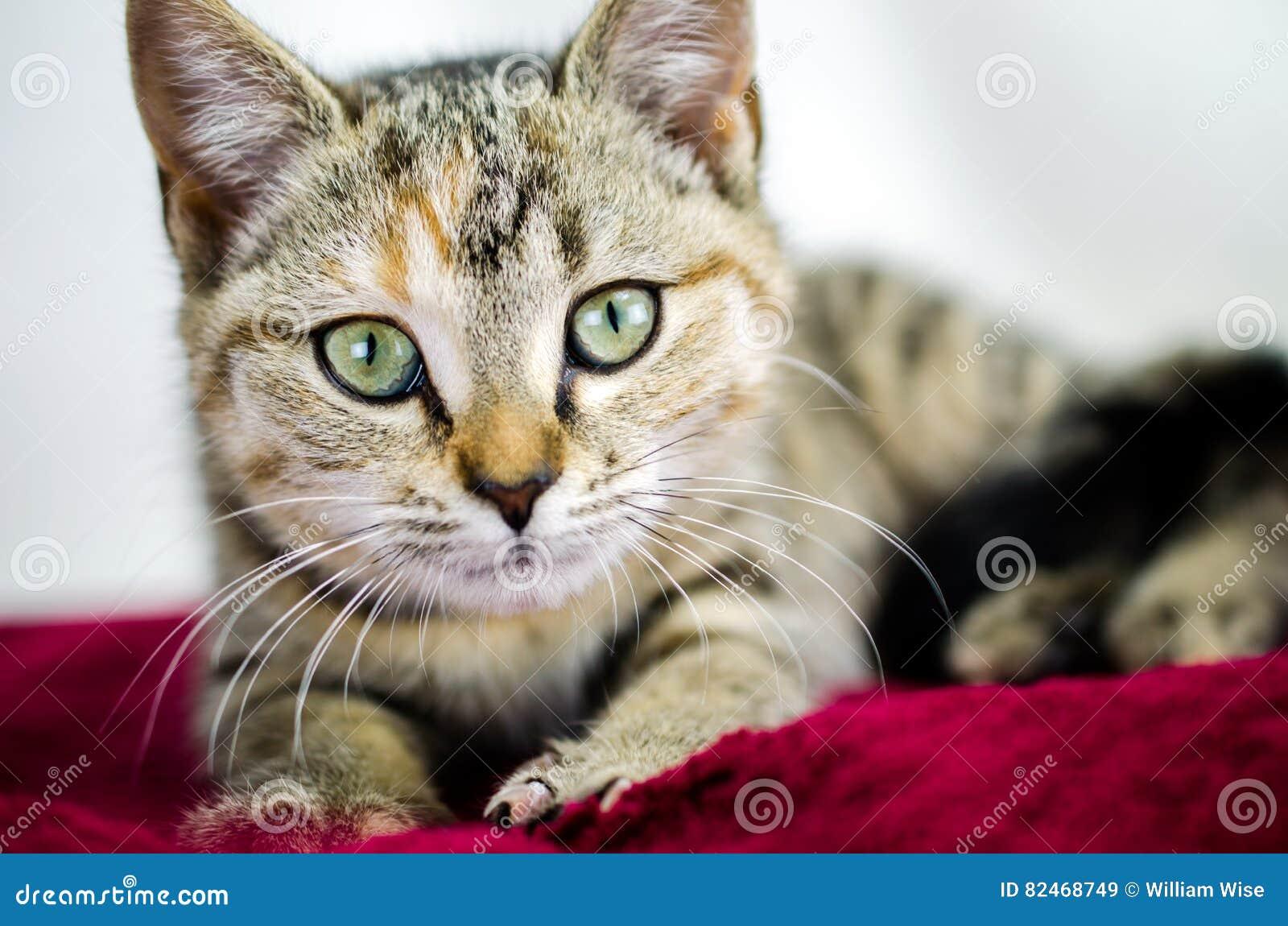 Фото принятия котенка ситца Tabby, управление животного Walton County
