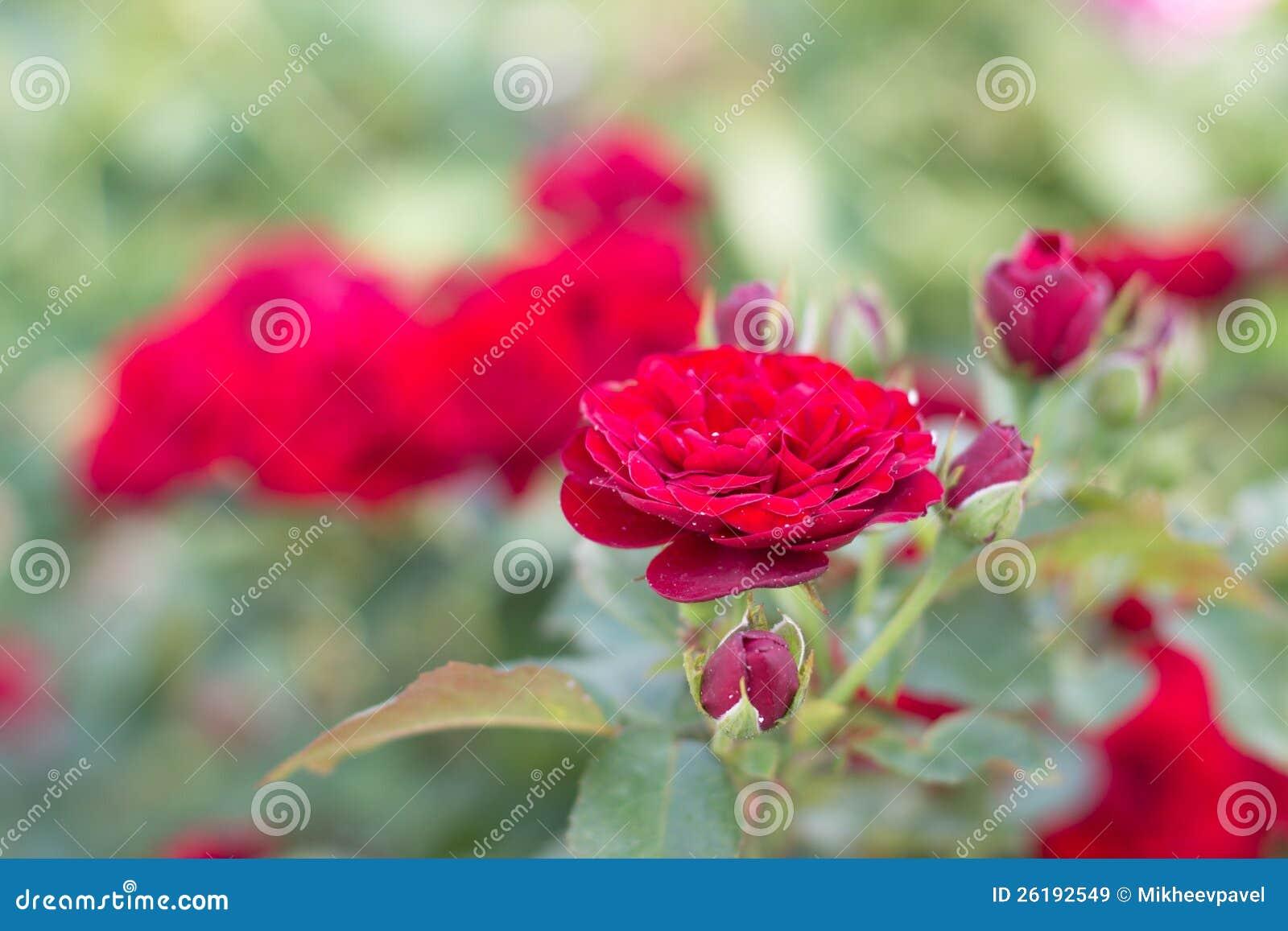 Фото сада цветет розы