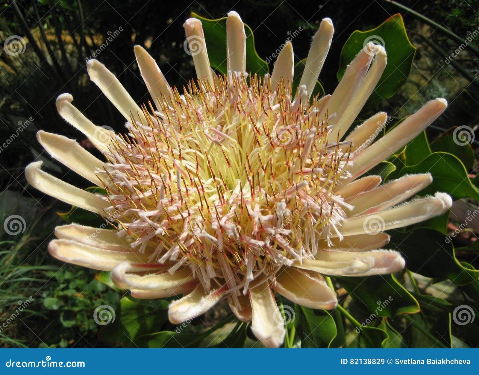 Фото уникально цветка в природе - cynaroides макроса Protea короля Proteas, национальный символ Южной Африки