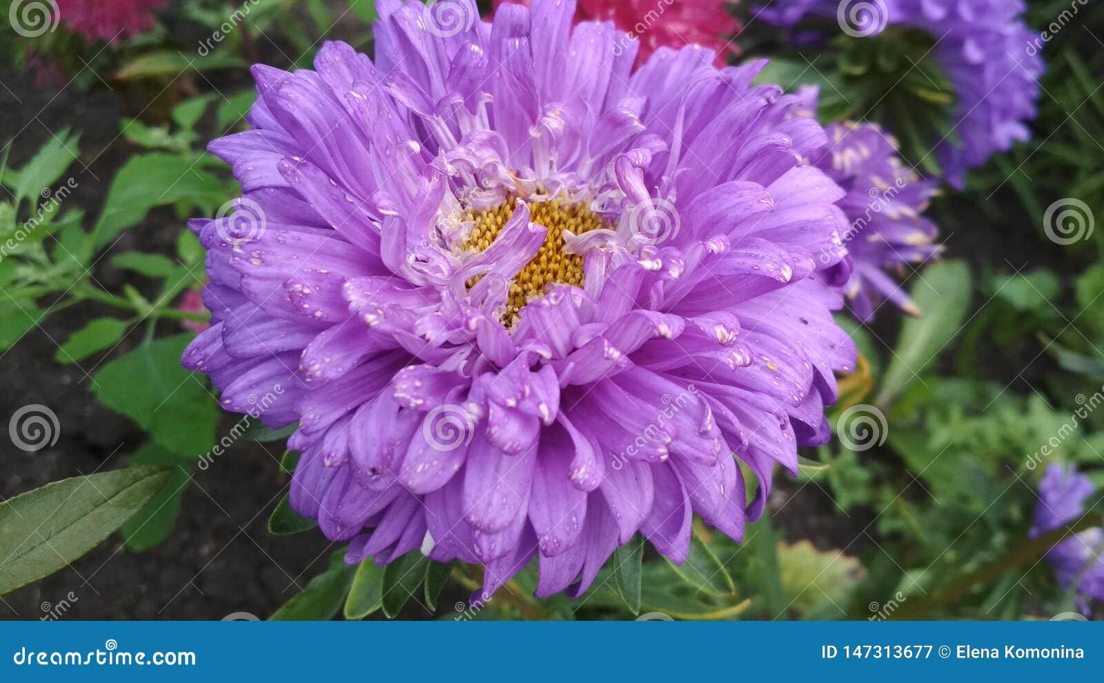 Фото цветка астры Terry